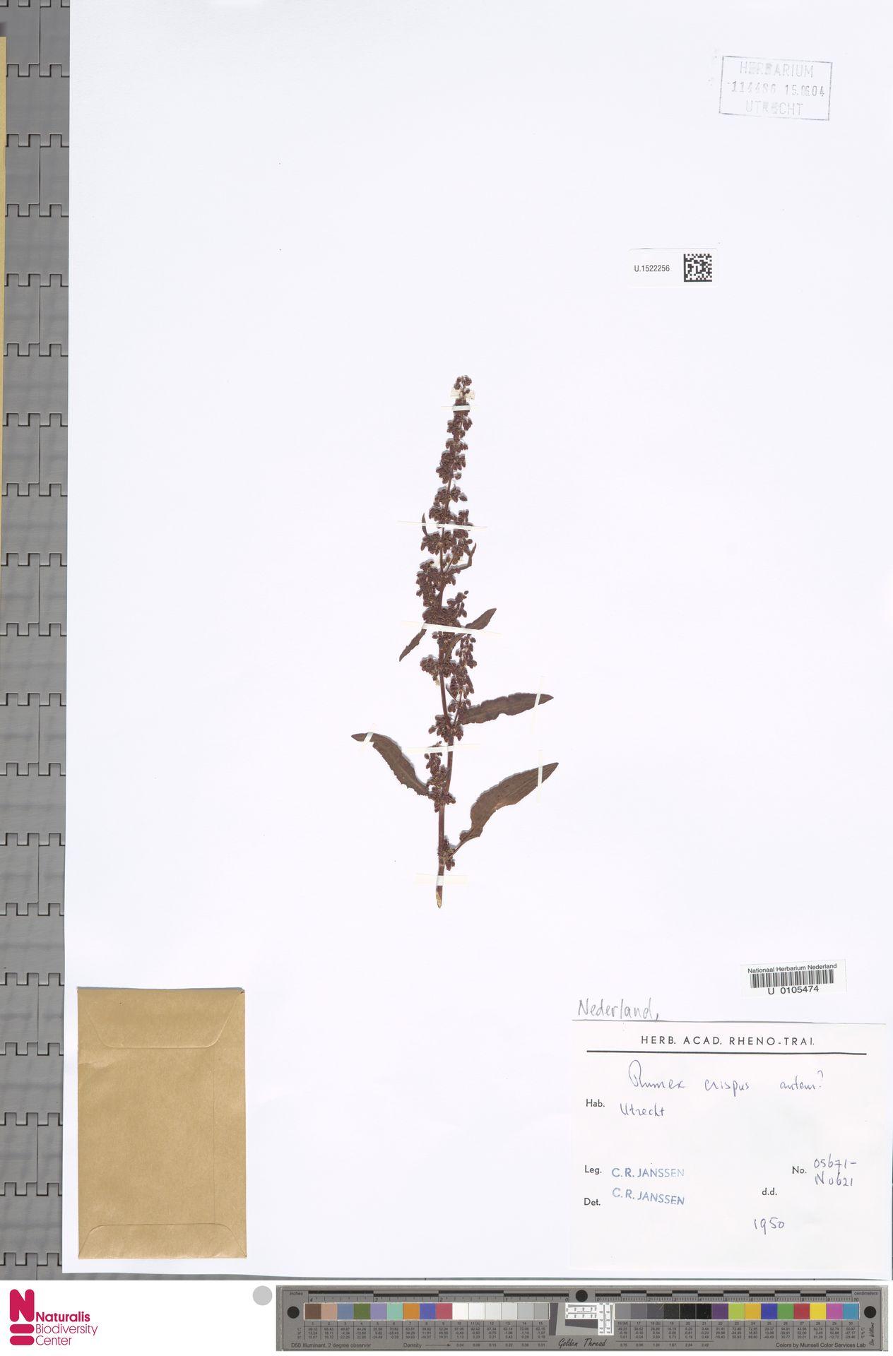 U.1522256 | Rumex crispus L.
