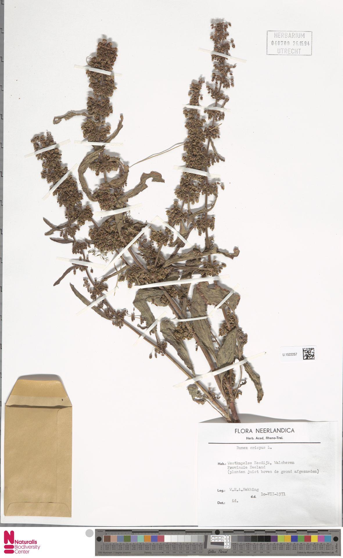 U.1522257 | Rumex crispus L.
