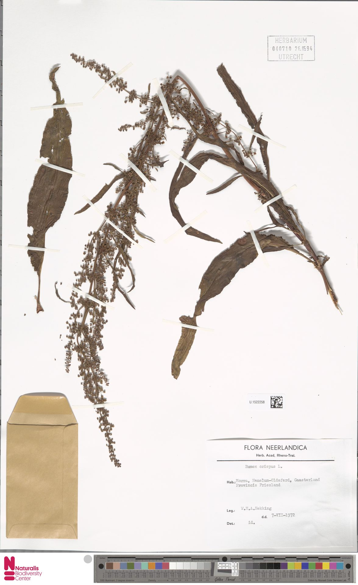 U.1522258 | Rumex crispus L.