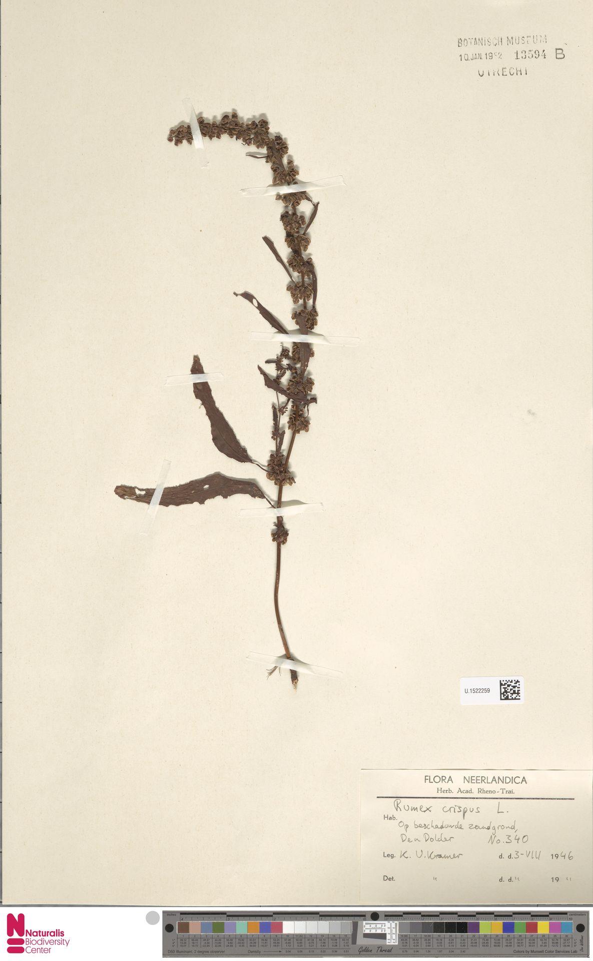 U.1522259 | Rumex crispus L.