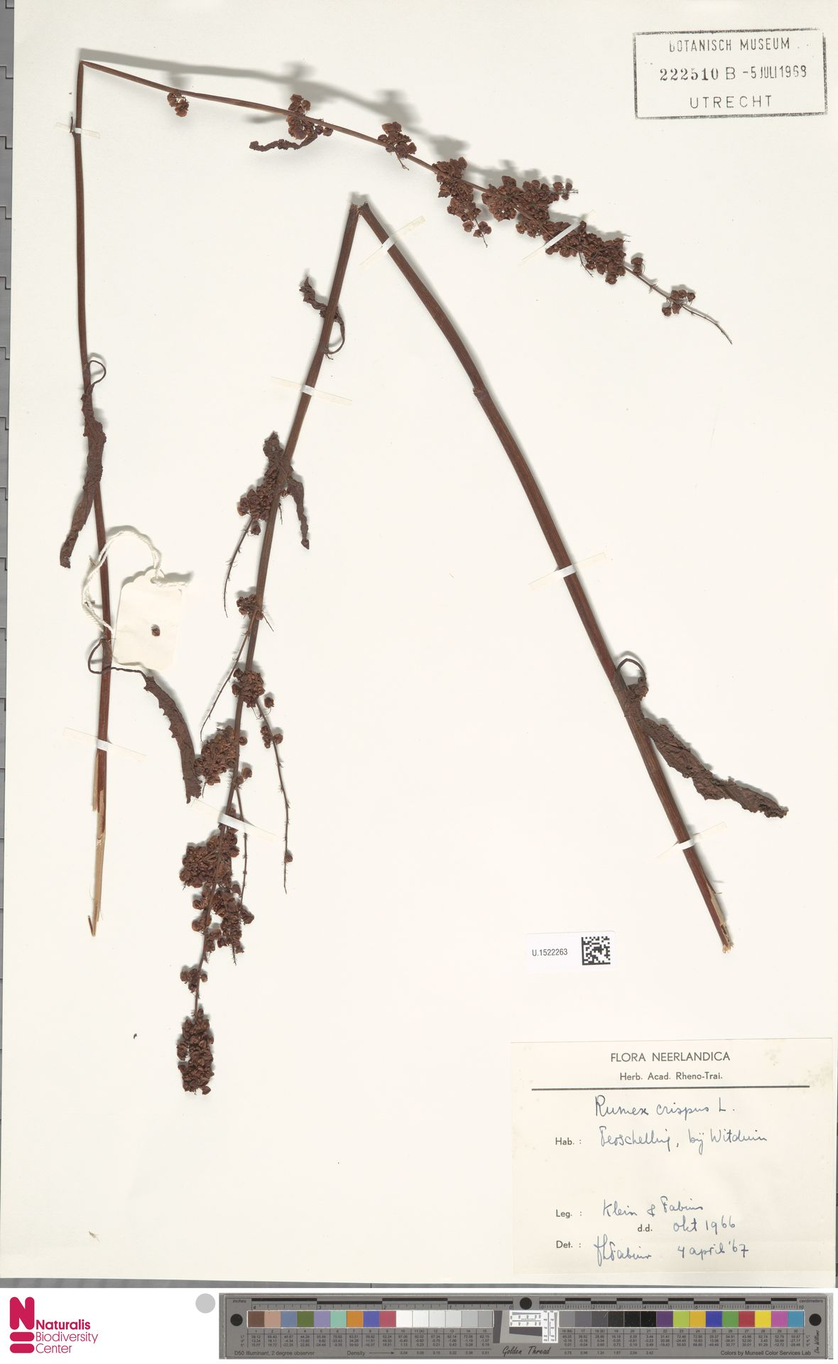 U.1522263 | Rumex crispus L.