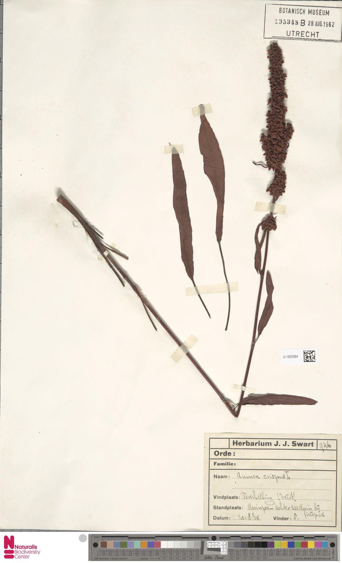 U.1522264 | Rumex crispus L.