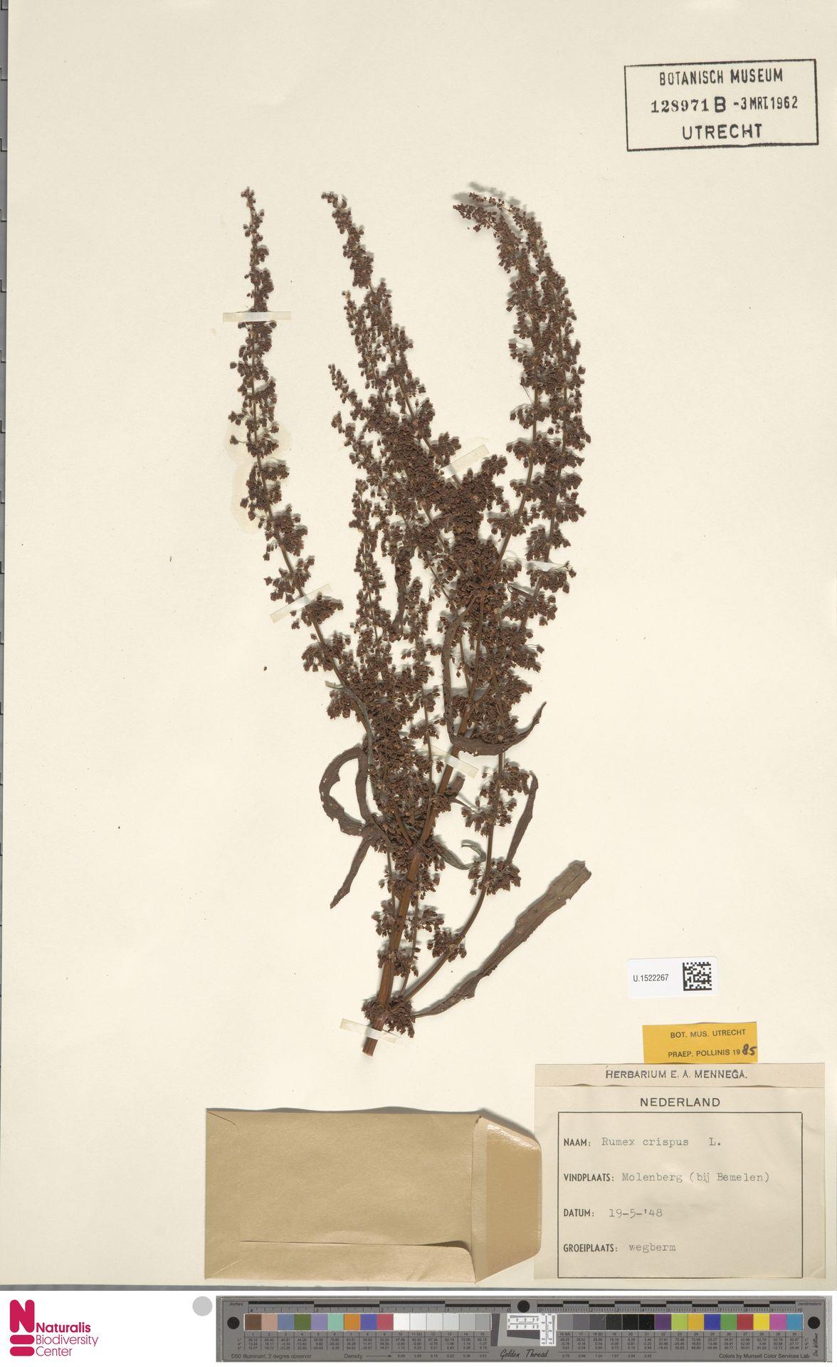U.1522267 | Rumex crispus L.