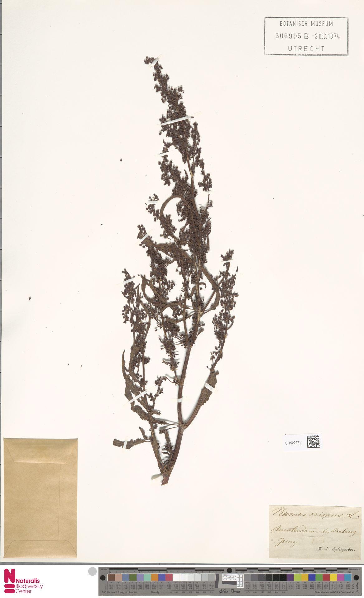 U.1522271 | Rumex crispus L.