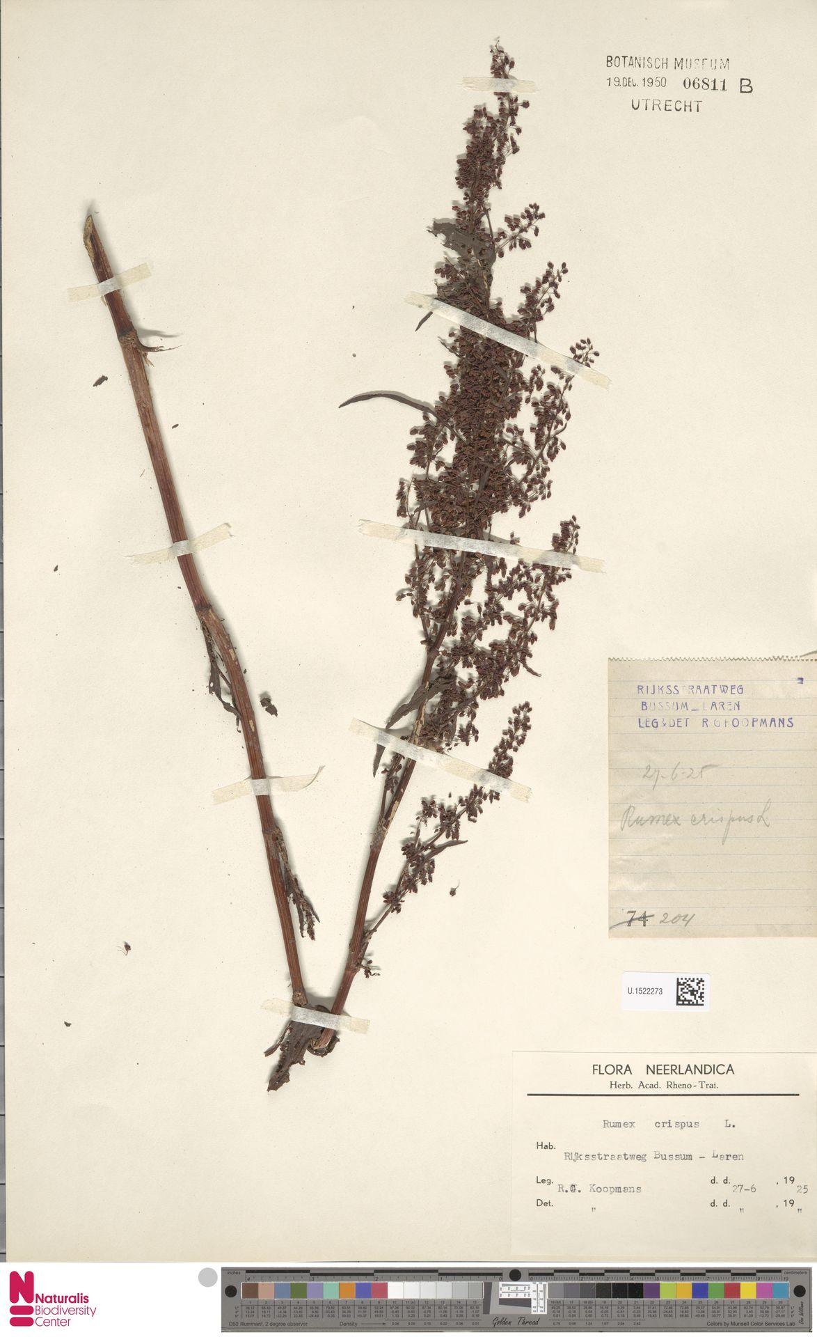 U.1522273 | Rumex crispus L.