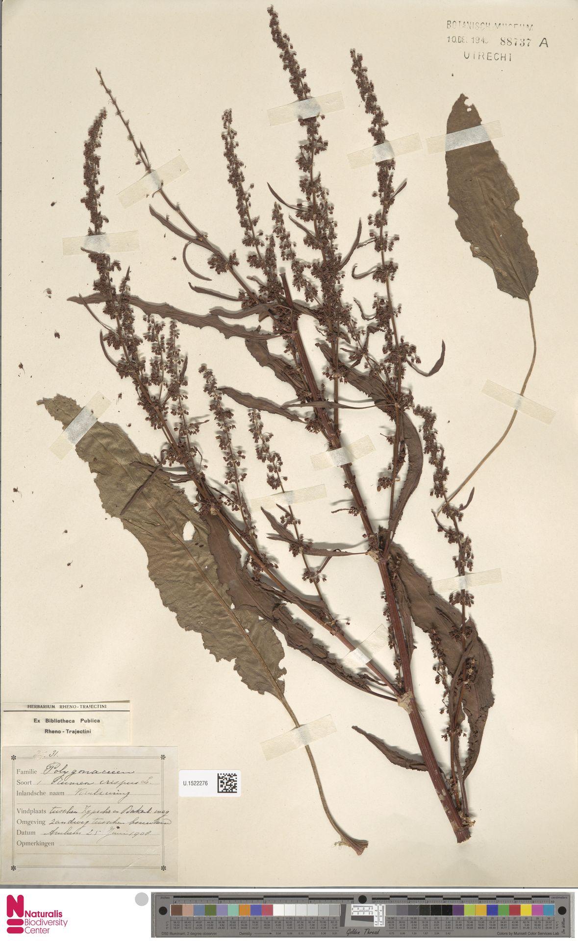 U.1522276 | Rumex crispus L.