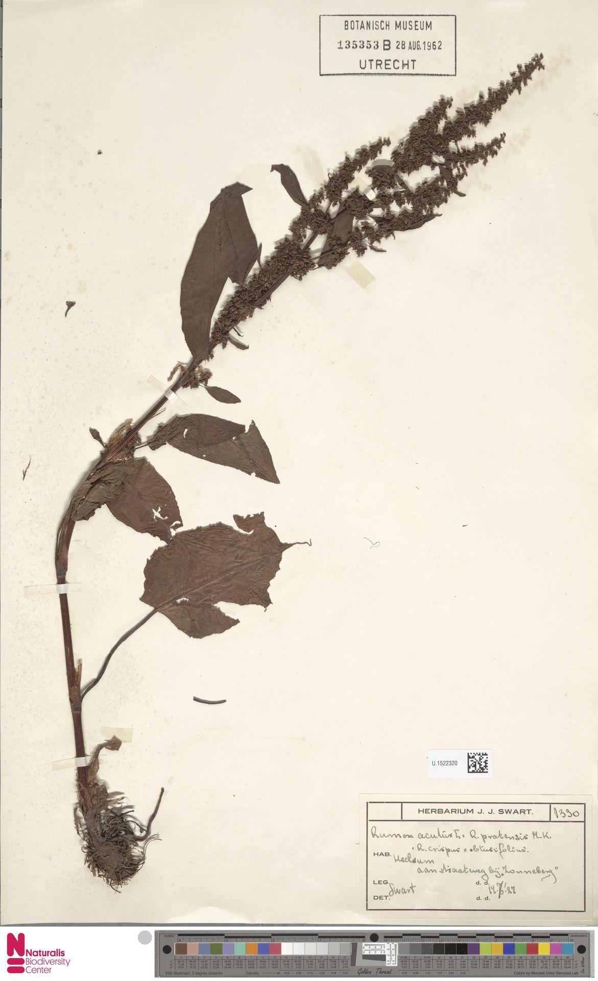 U.1522320 | Rumex acutus Sm.
