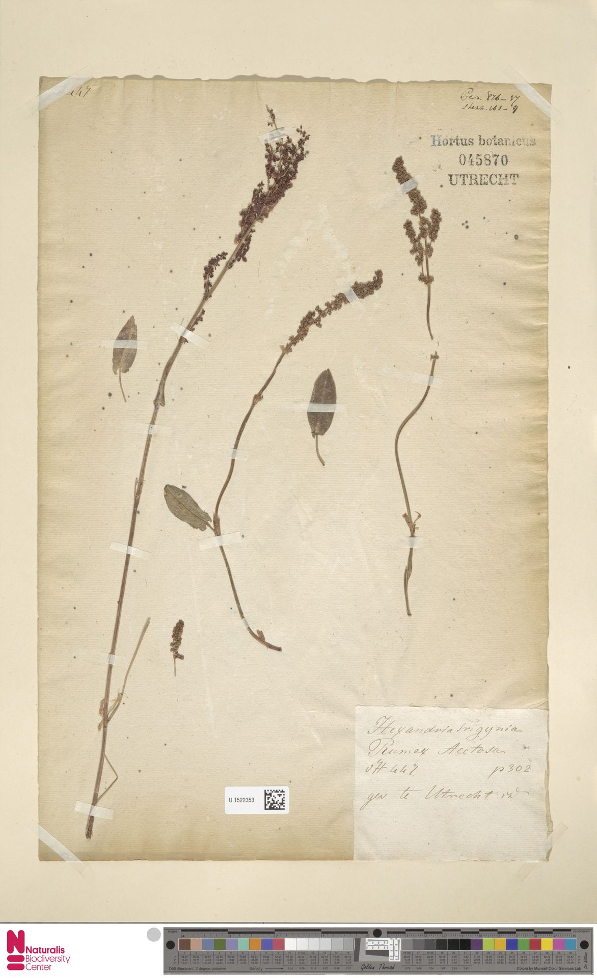 U.1522353 | Rumex acetosa L.