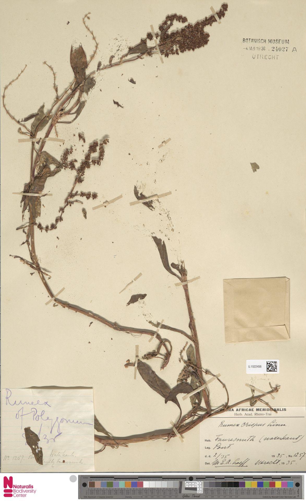 U.1522456 | Rumex crispus L.