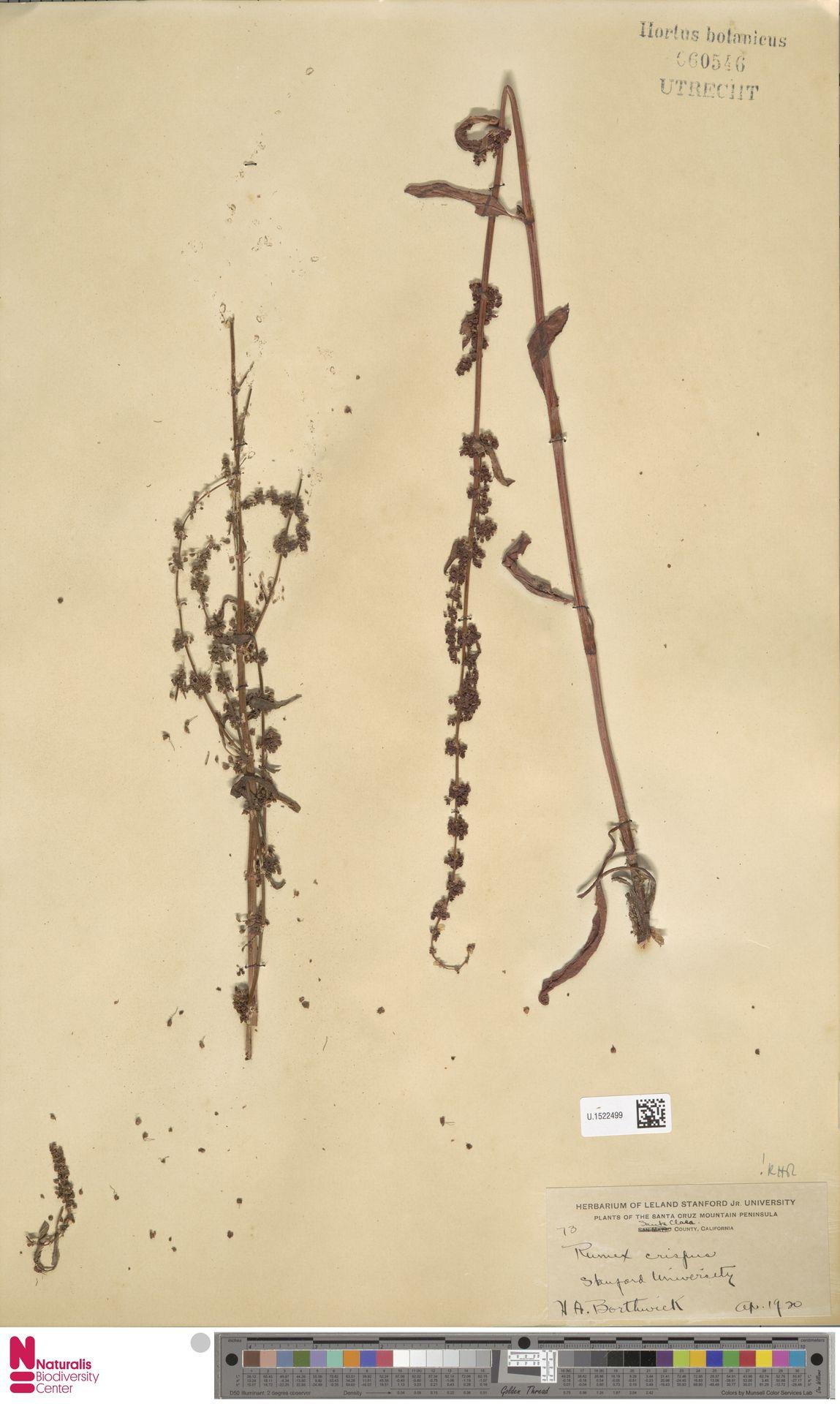 U.1522499 | Rumex crispus L.