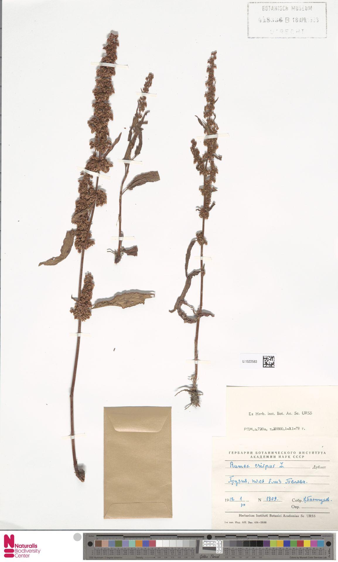 U.1522583 | Rumex crispus L.