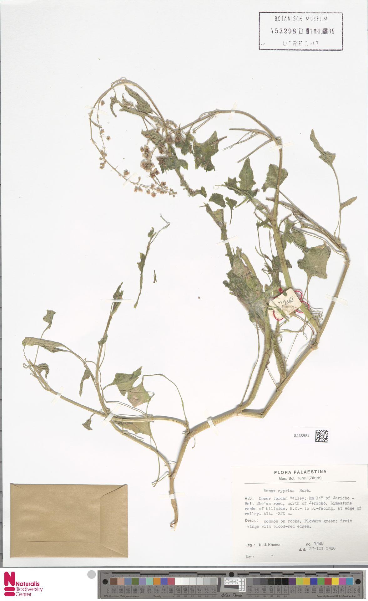U.1522584 | Rumex crispus L.