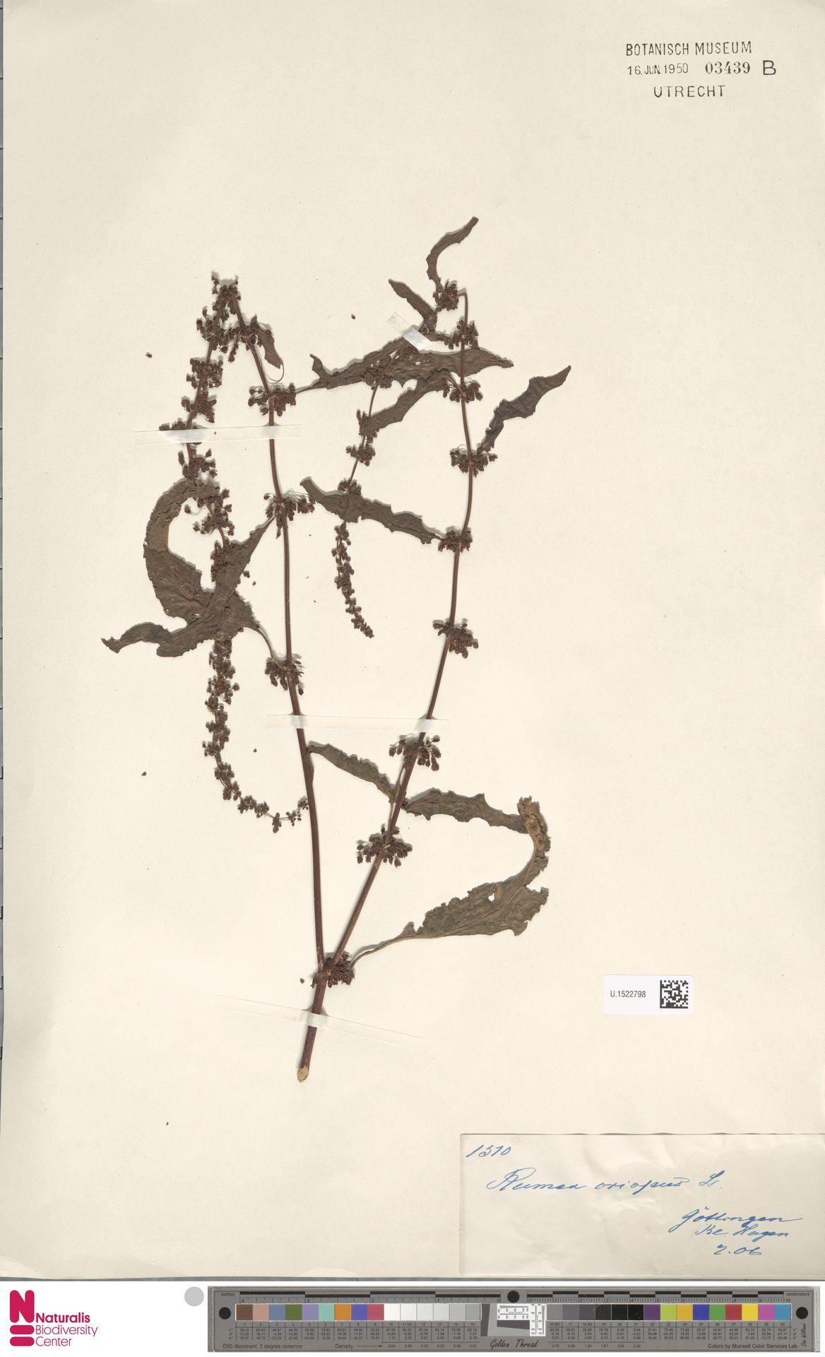 U.1522798 | Rumex crispus L.