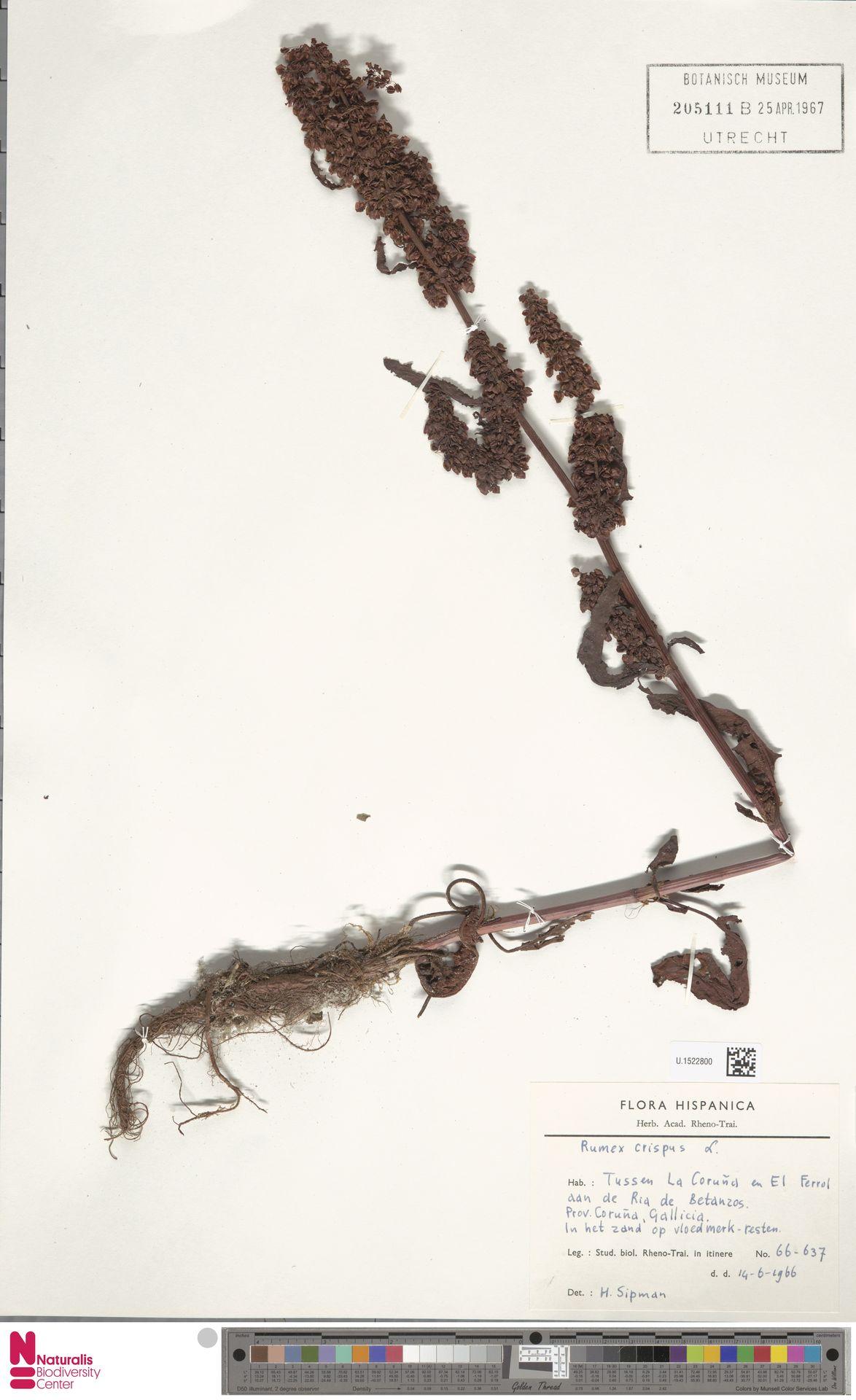 U.1522800 | Rumex crispus L.