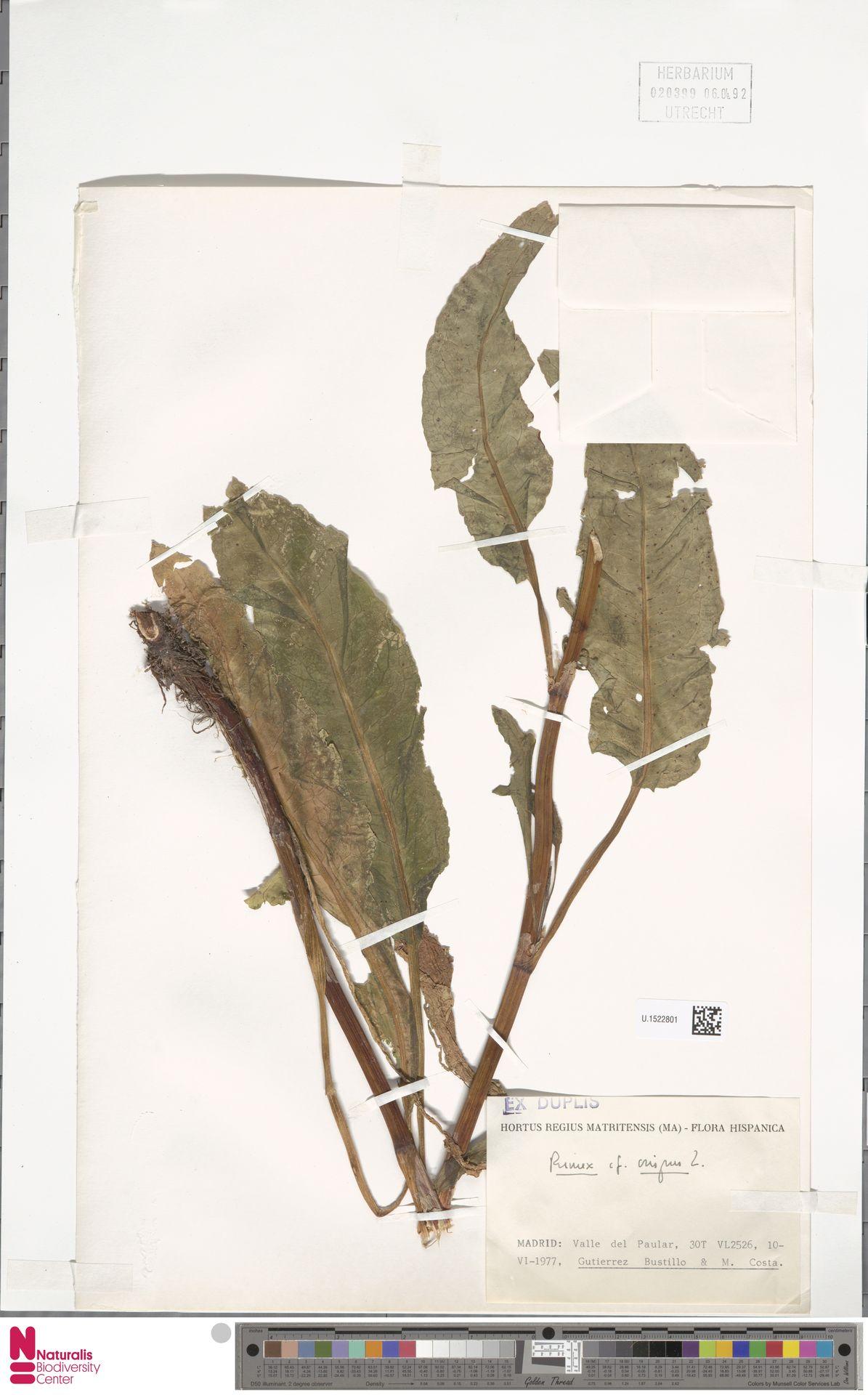 U.1522801 | Rumex crispus L.