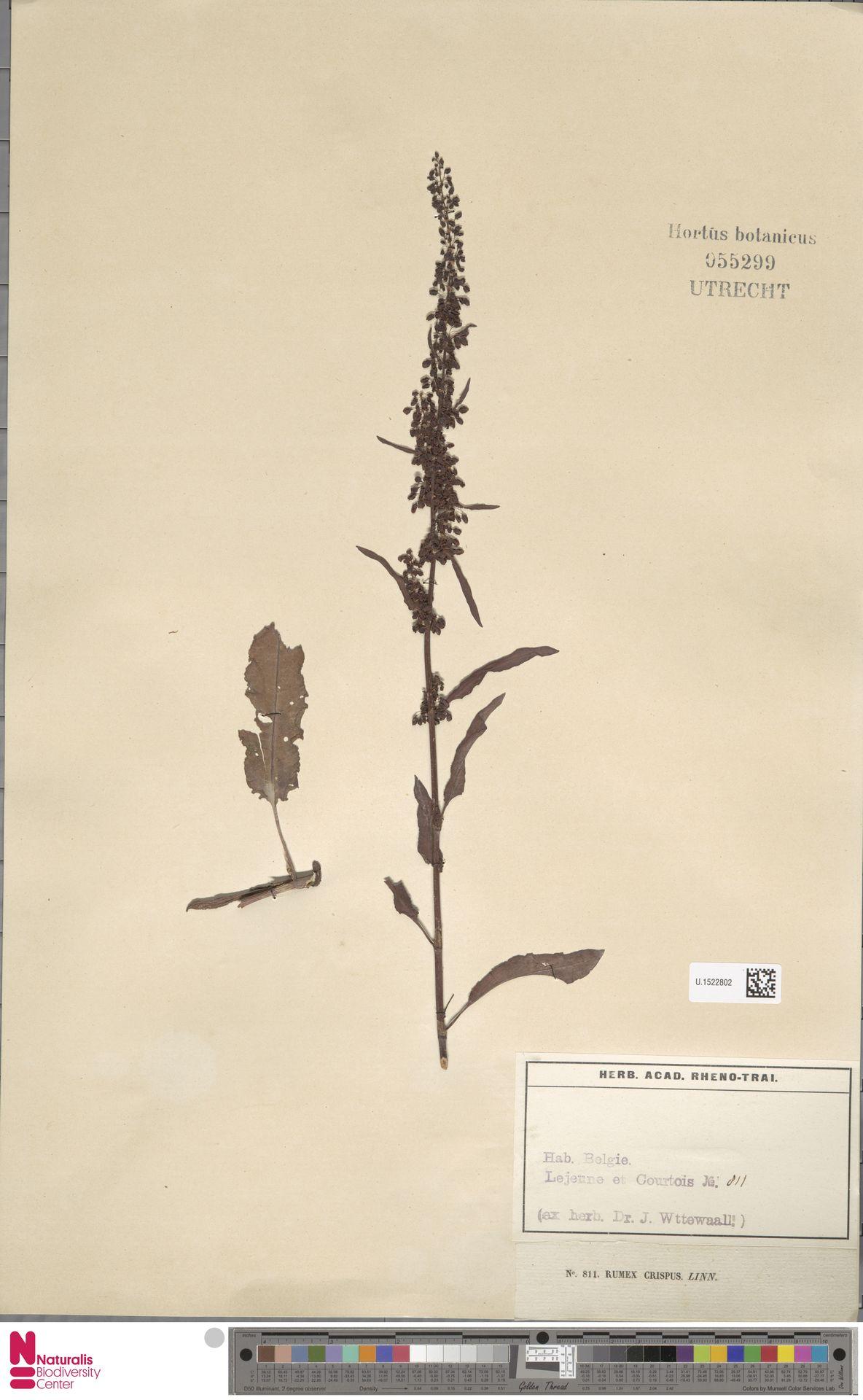U.1522802 | Rumex crispus L.