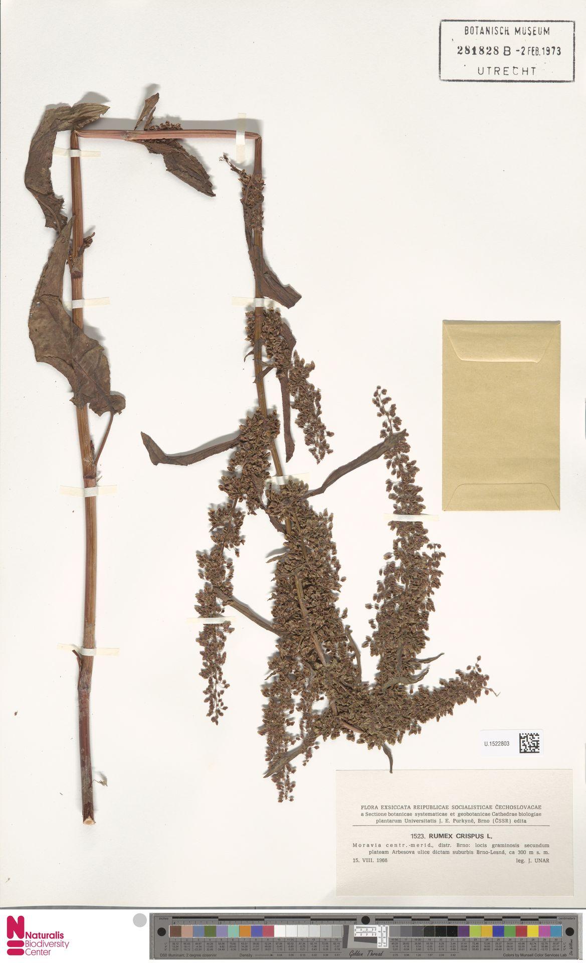 U.1522803 | Rumex crispus L.