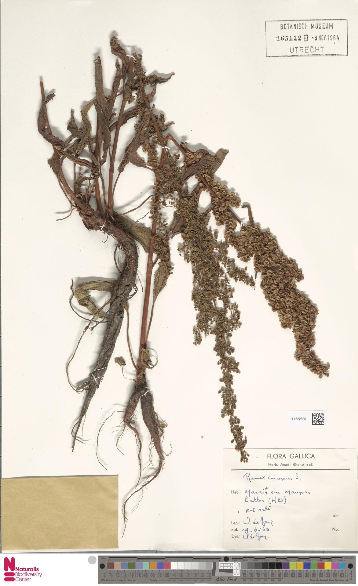 U.1522806 | Rumex crispus L.