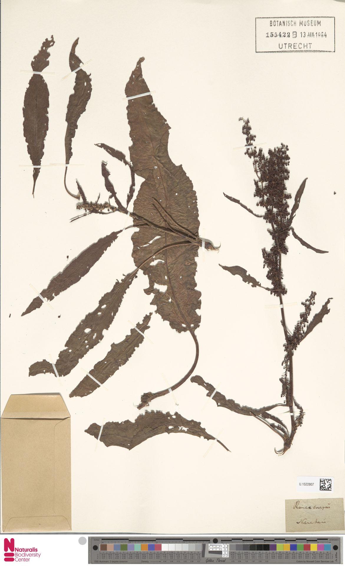 U.1522807   Rumex crispus L.