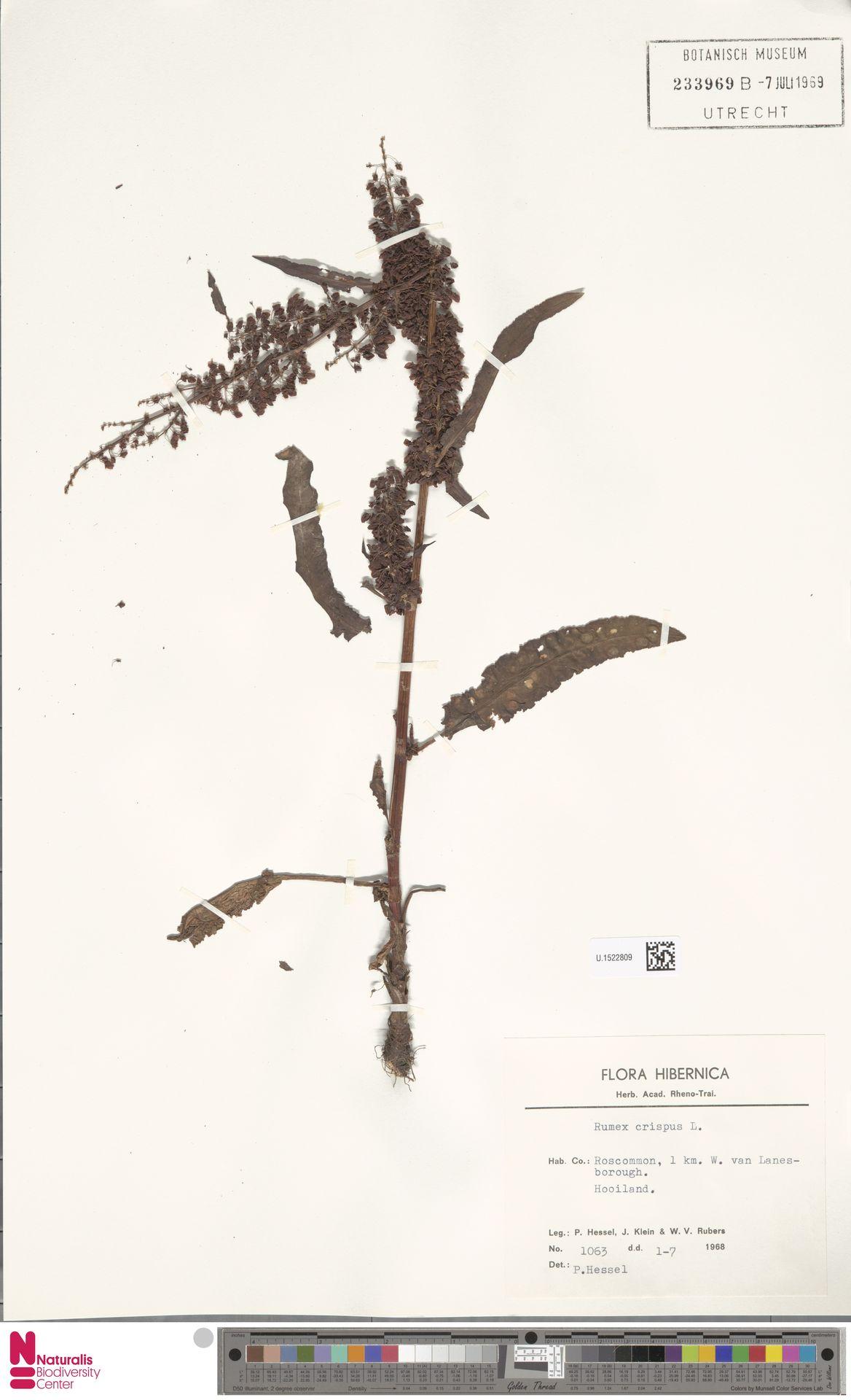 U.1522809 | Rumex crispus L.