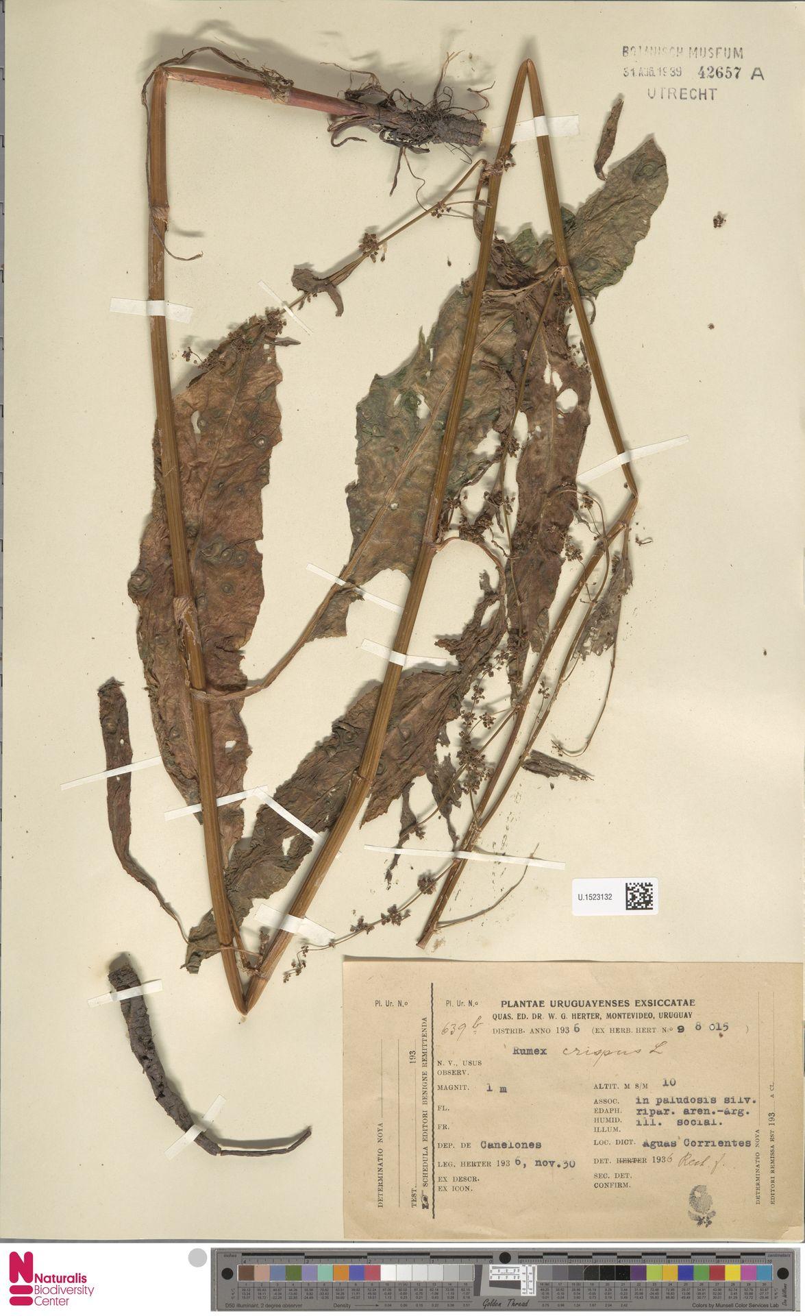 U.1523132 | Rumex crispus L.