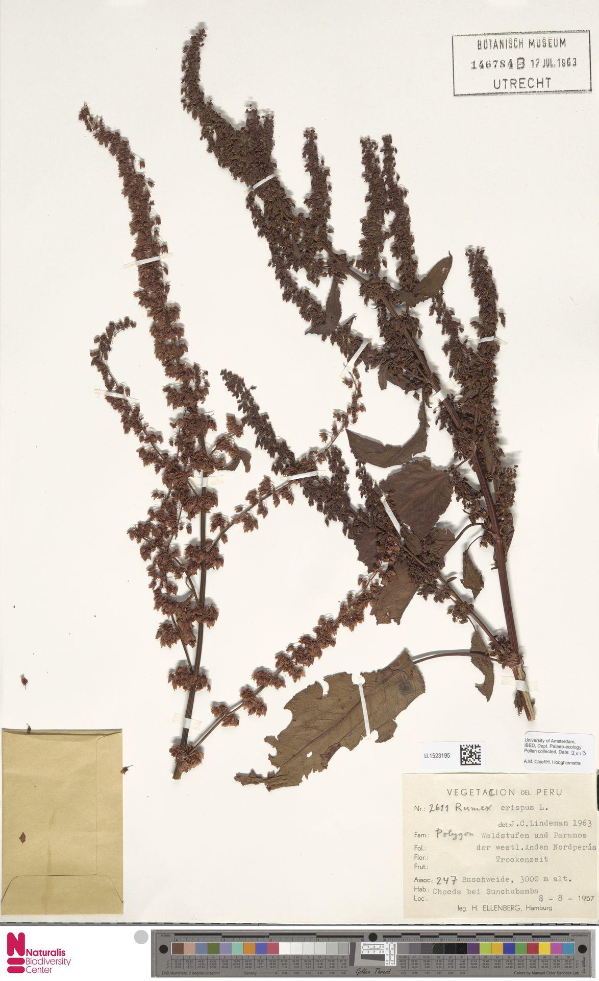U.1523195 | Rumex crispus L.