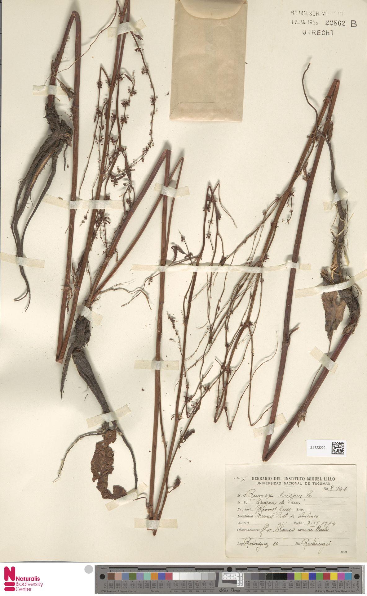 U.1523222 | Rumex crispus L.