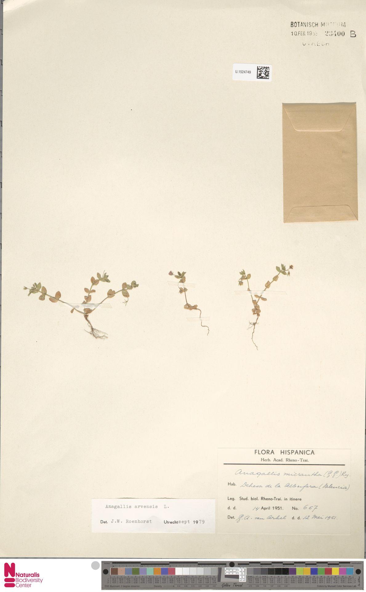 U.1524749 | Anagallis arvensis L.