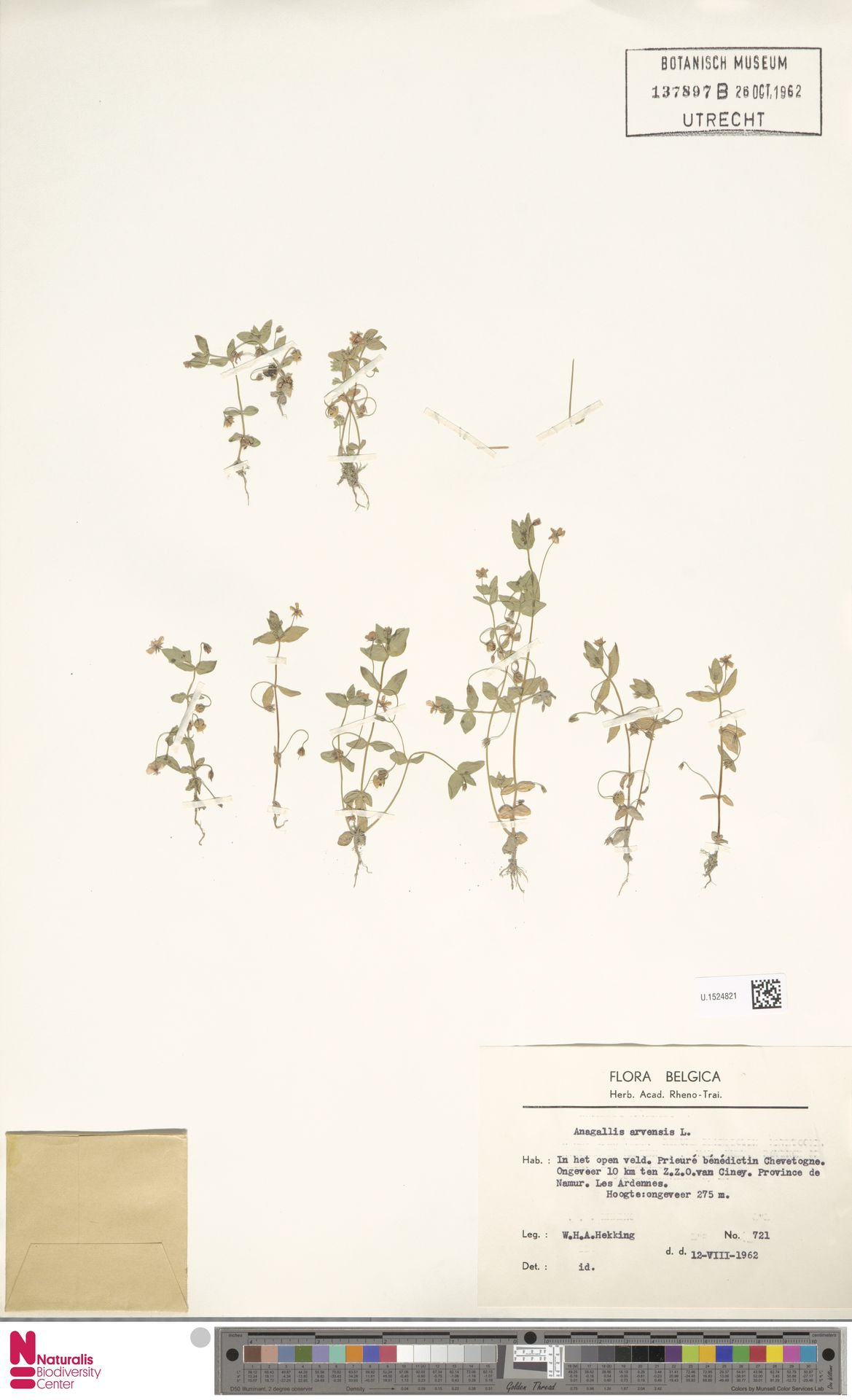 U.1524821 | Anagallis arvensis L.