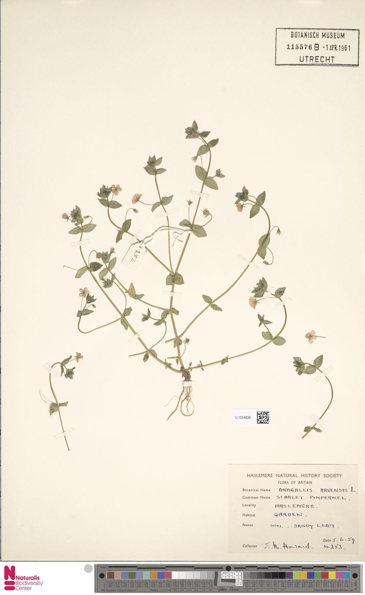 U.1524836 | Anagallis arvensis L.