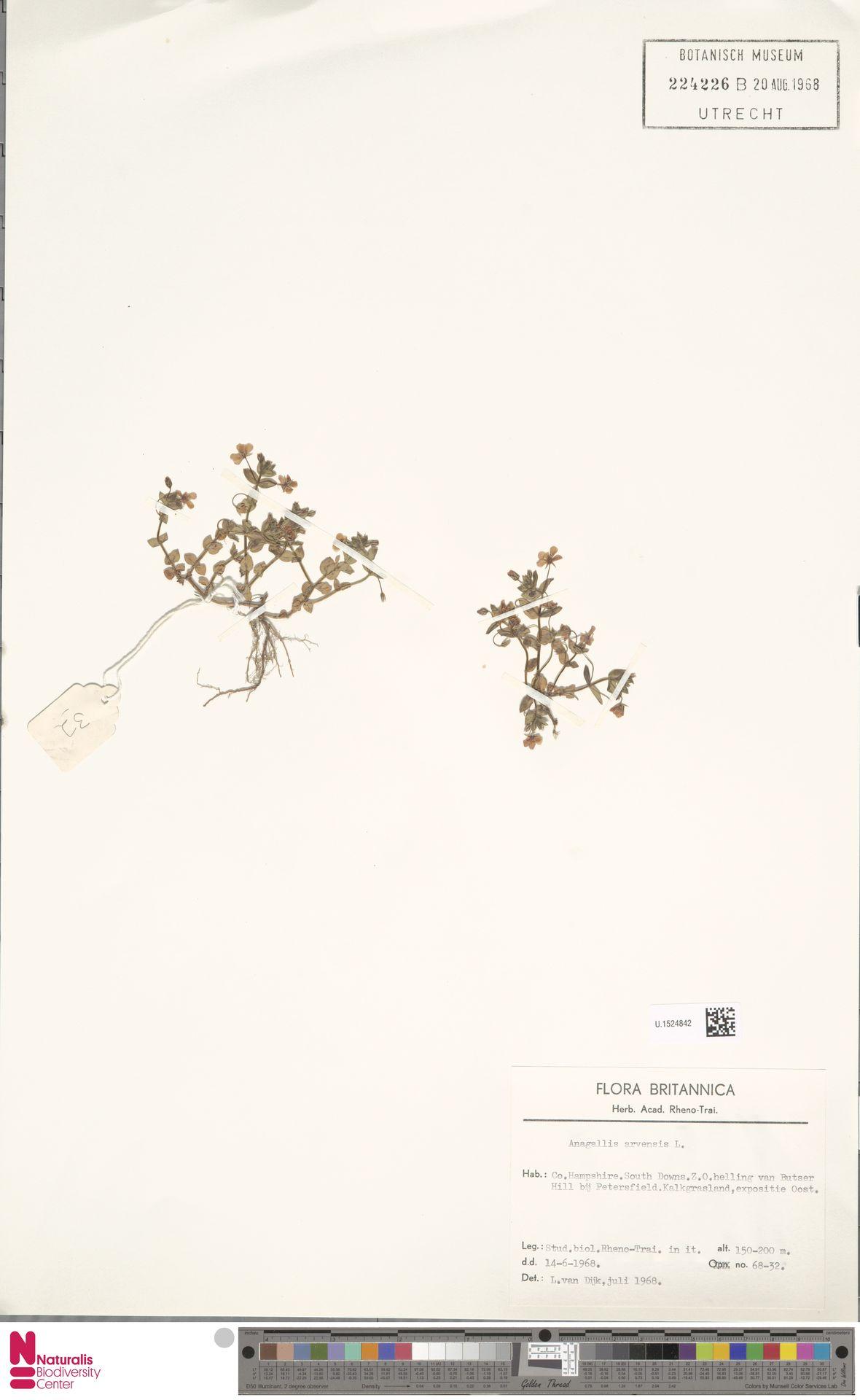 U.1524842 | Anagallis arvensis L.
