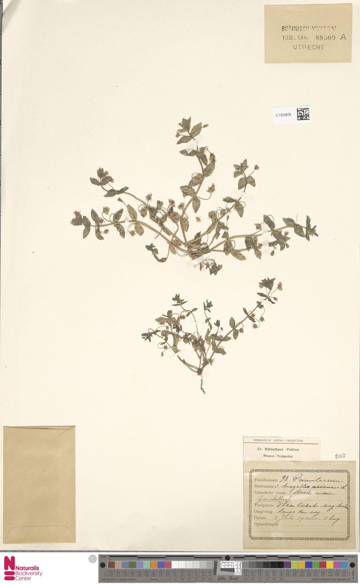 U.1524876 | Anagallis arvensis L.