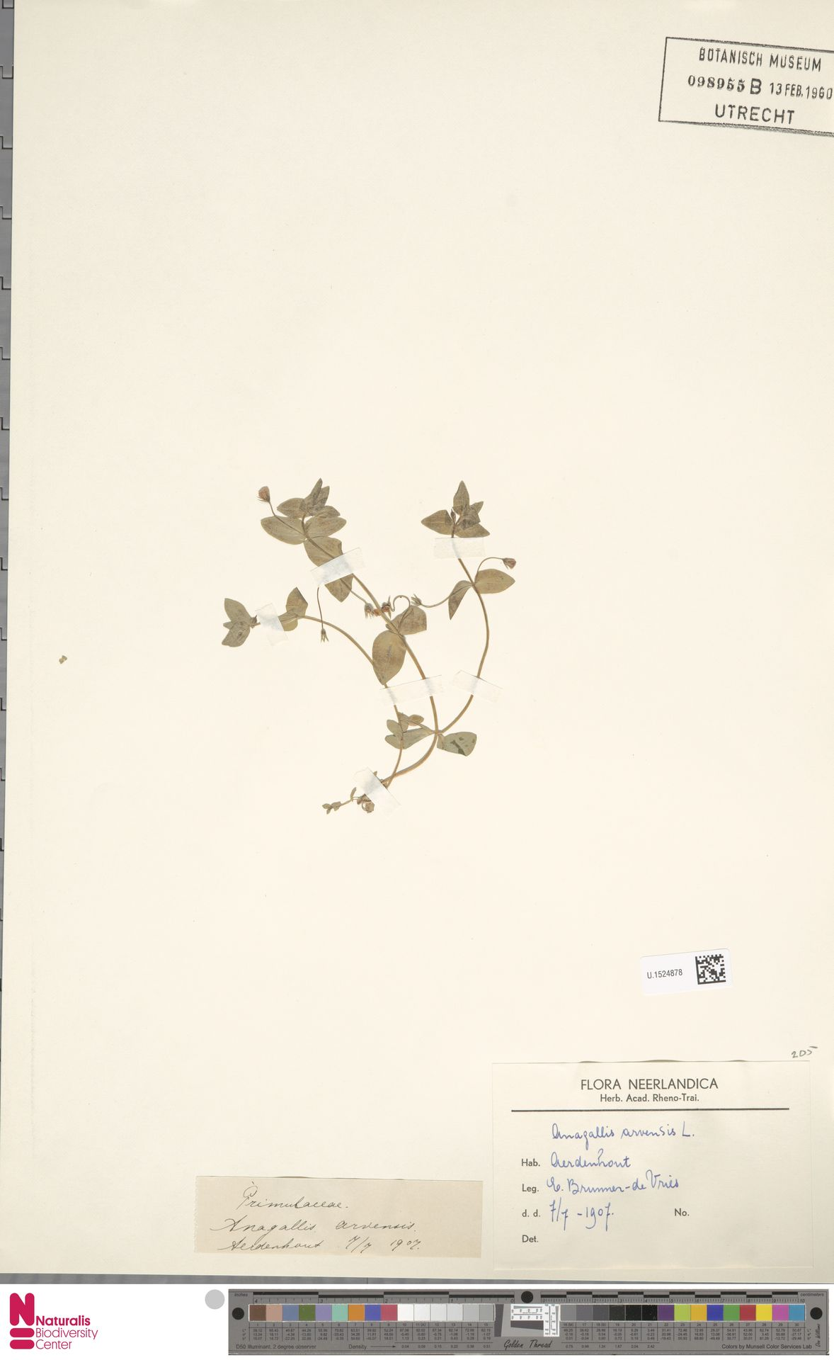 U.1524878   Anagallis arvensis L.