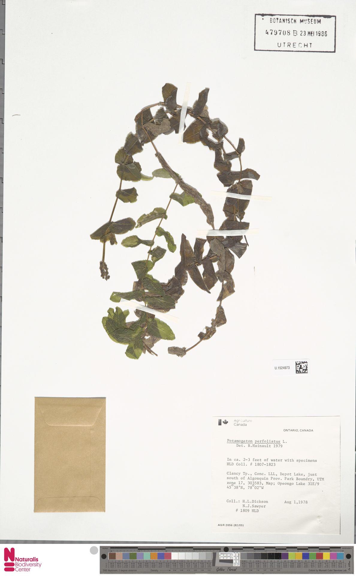 U.1524973   Potamogeton perfoliatus L.