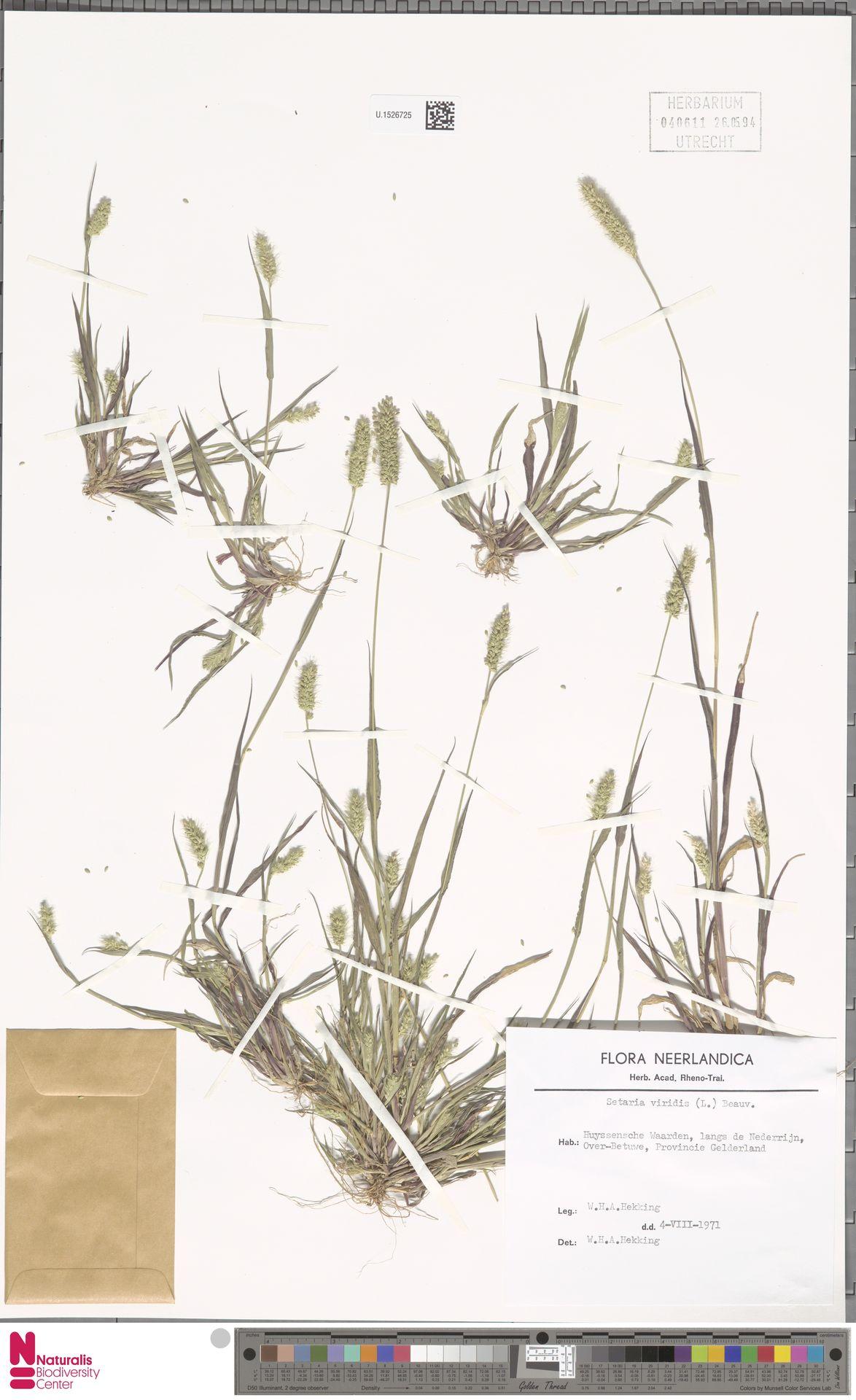 U.1526725 | Setaria viridis (L.) P.Beauv.