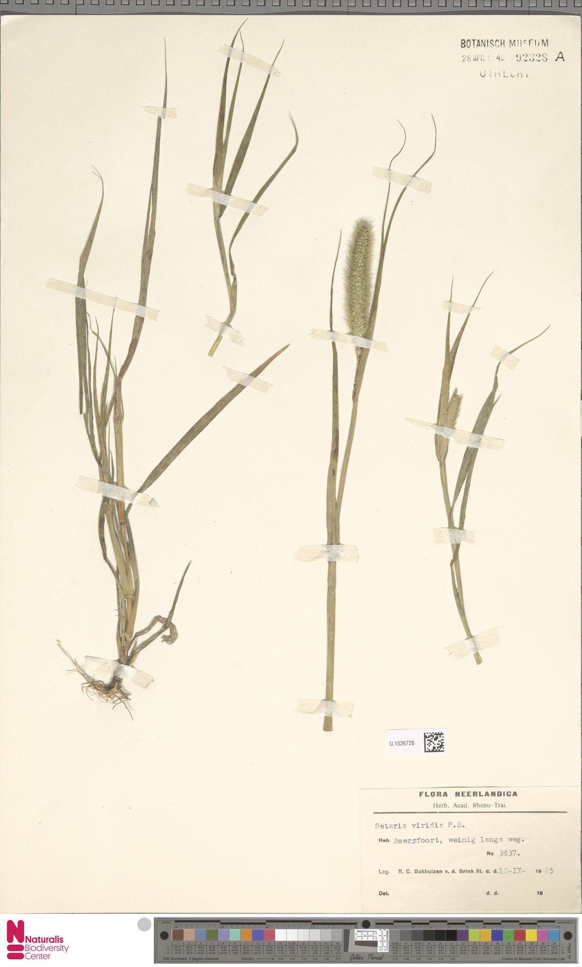U.1526728 | Setaria viridis (L.) P.Beauv.