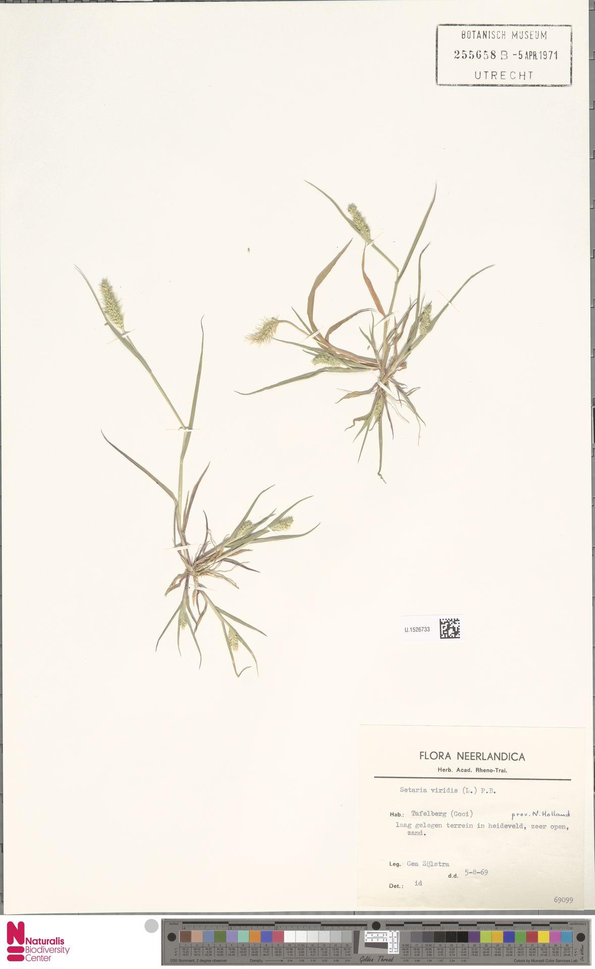 U.1526733 | Setaria viridis (L.) P.Beauv.