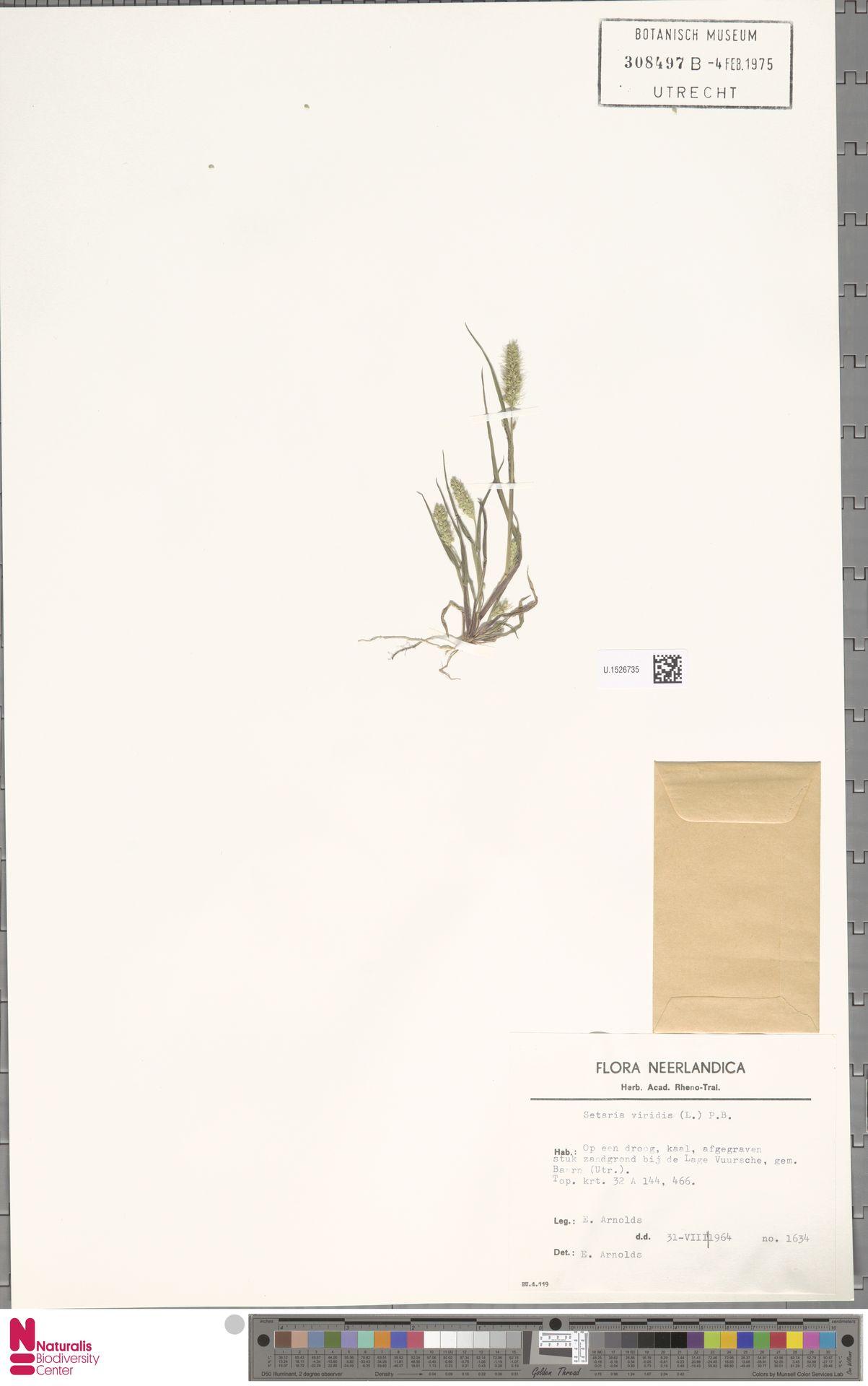 U.1526735 | Setaria viridis (L.) P.Beauv.