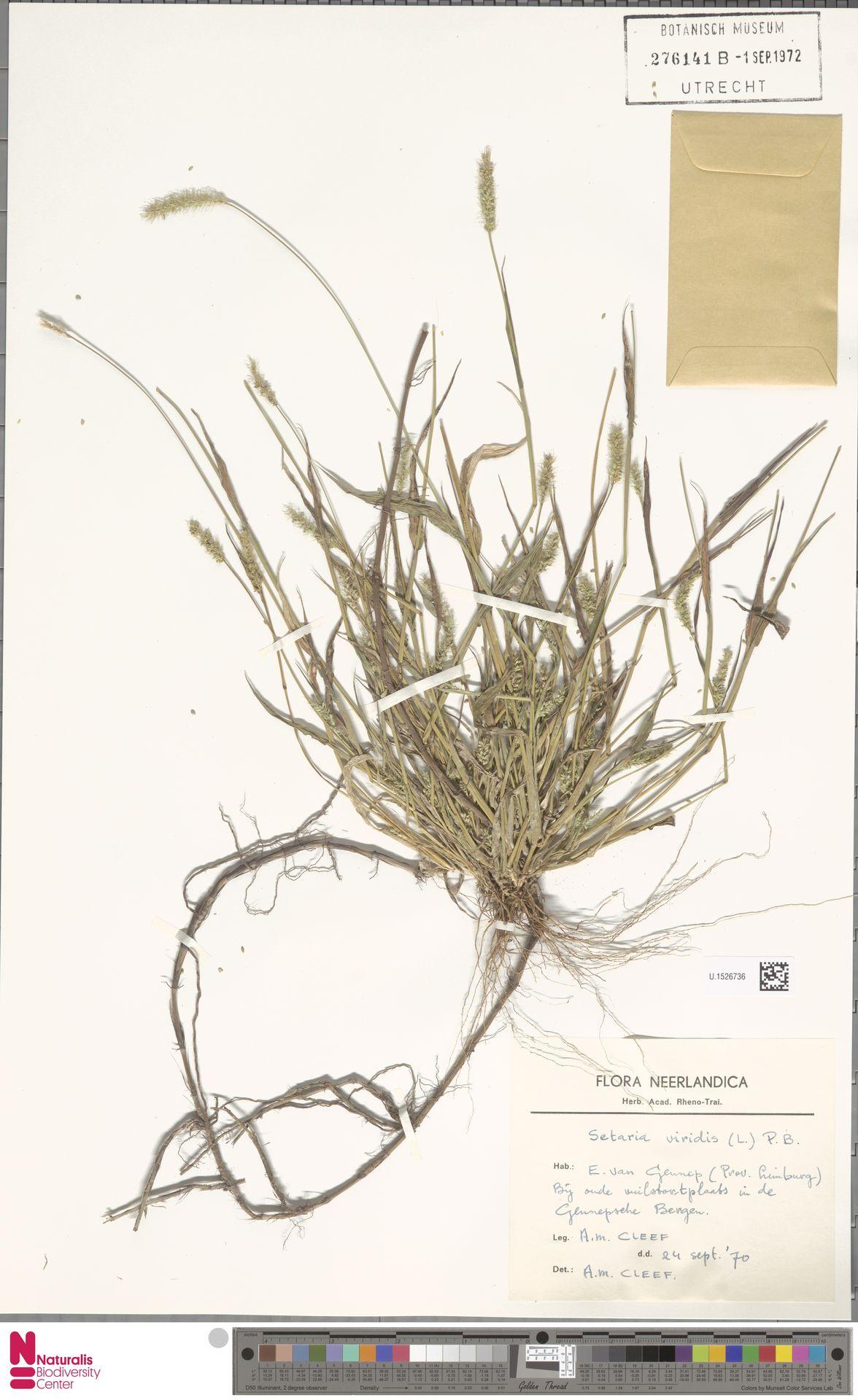 U.1526736 | Setaria viridis (L.) P.Beauv.