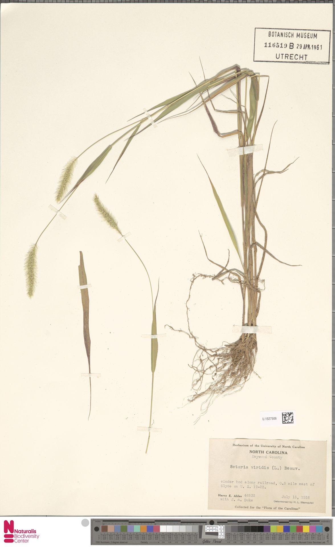 U.1527506 | Setaria viridis (L.) P.Beauv.