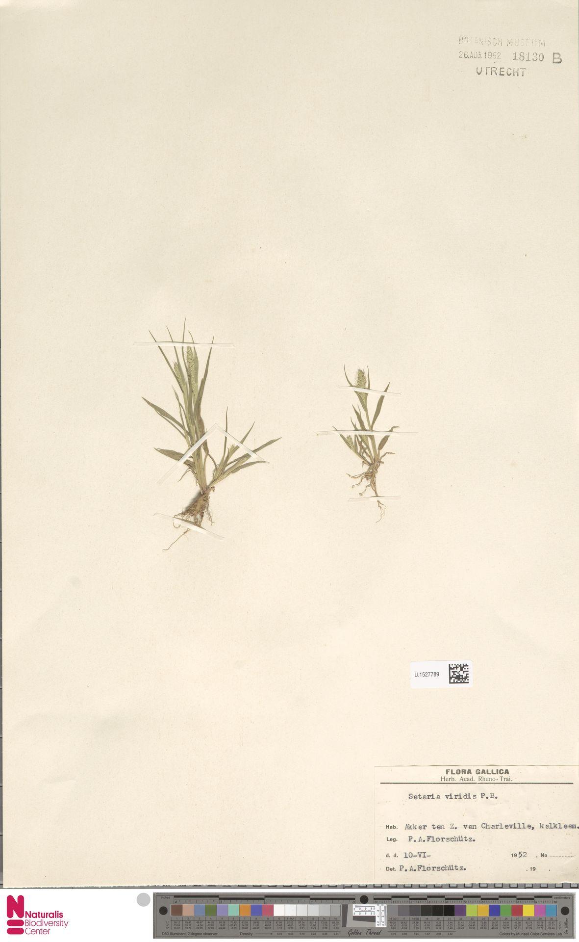 U.1527789 | Setaria viridis (L.) P.Beauv.