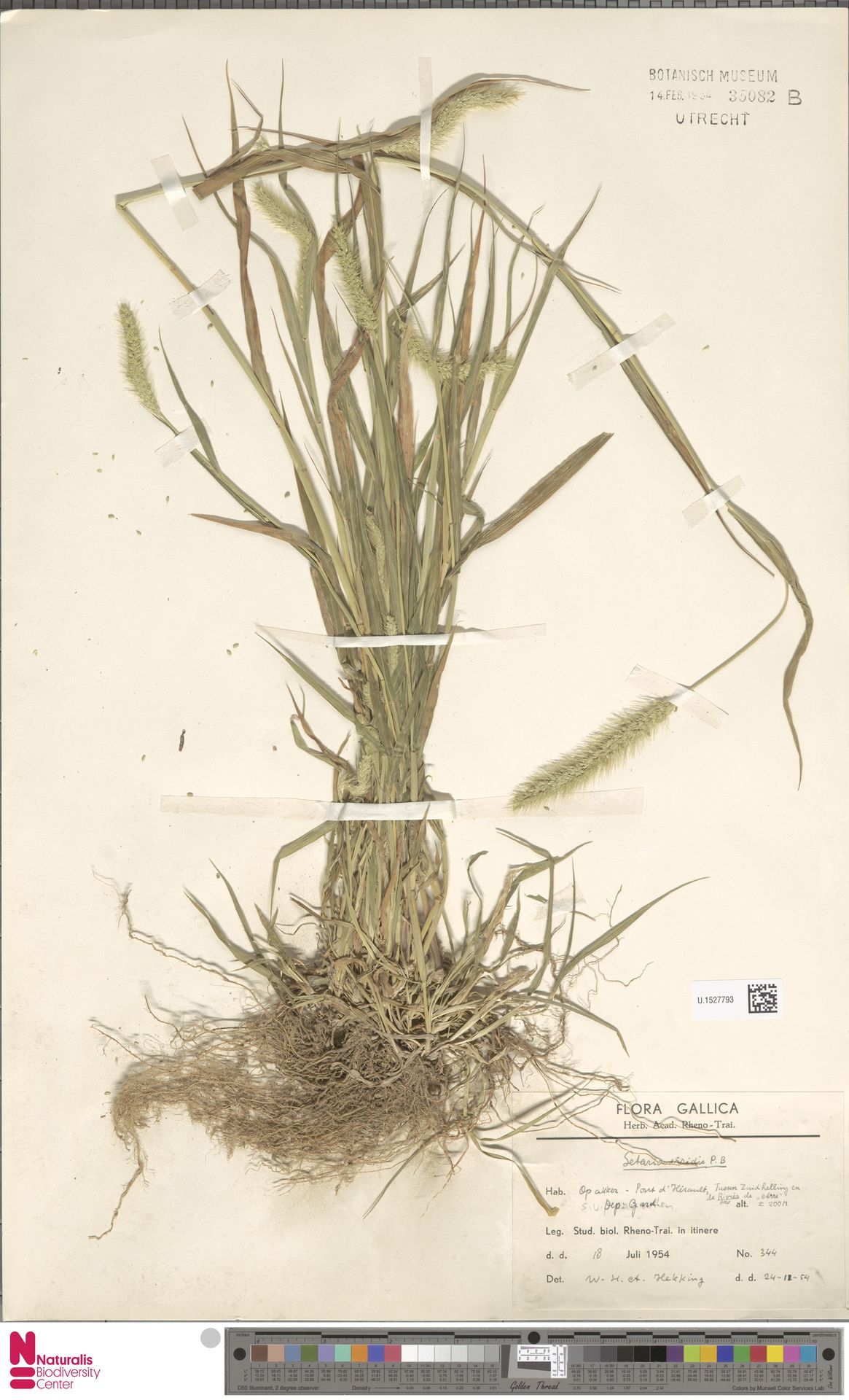 U.1527793   Setaria viridis (L.) P.Beauv.