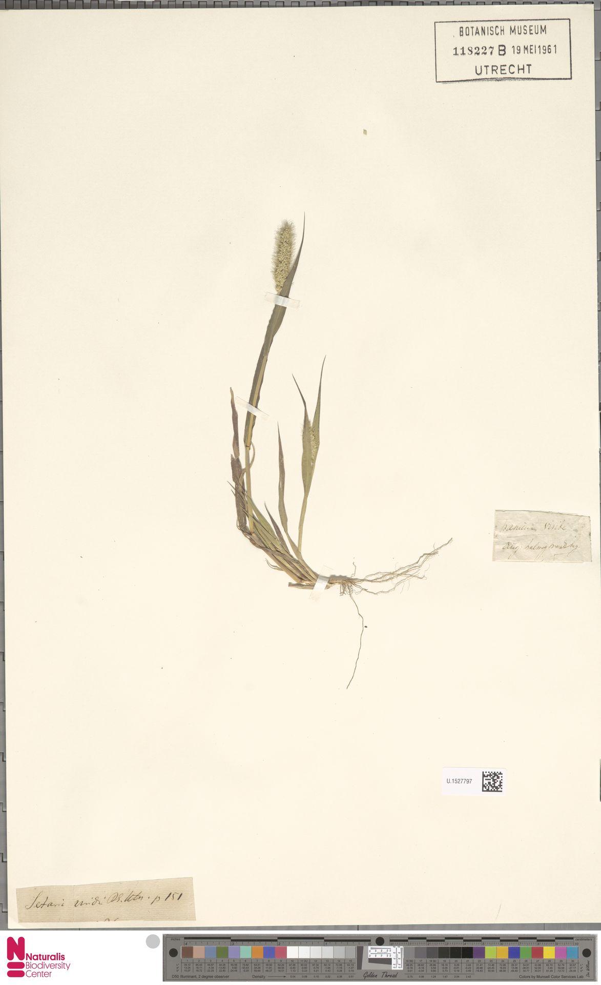 U.1527797 | Setaria viridis (L.) P.Beauv.