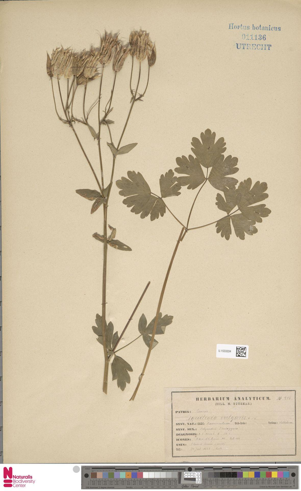 U.1533334 | Aquilegia vulgaris L.
