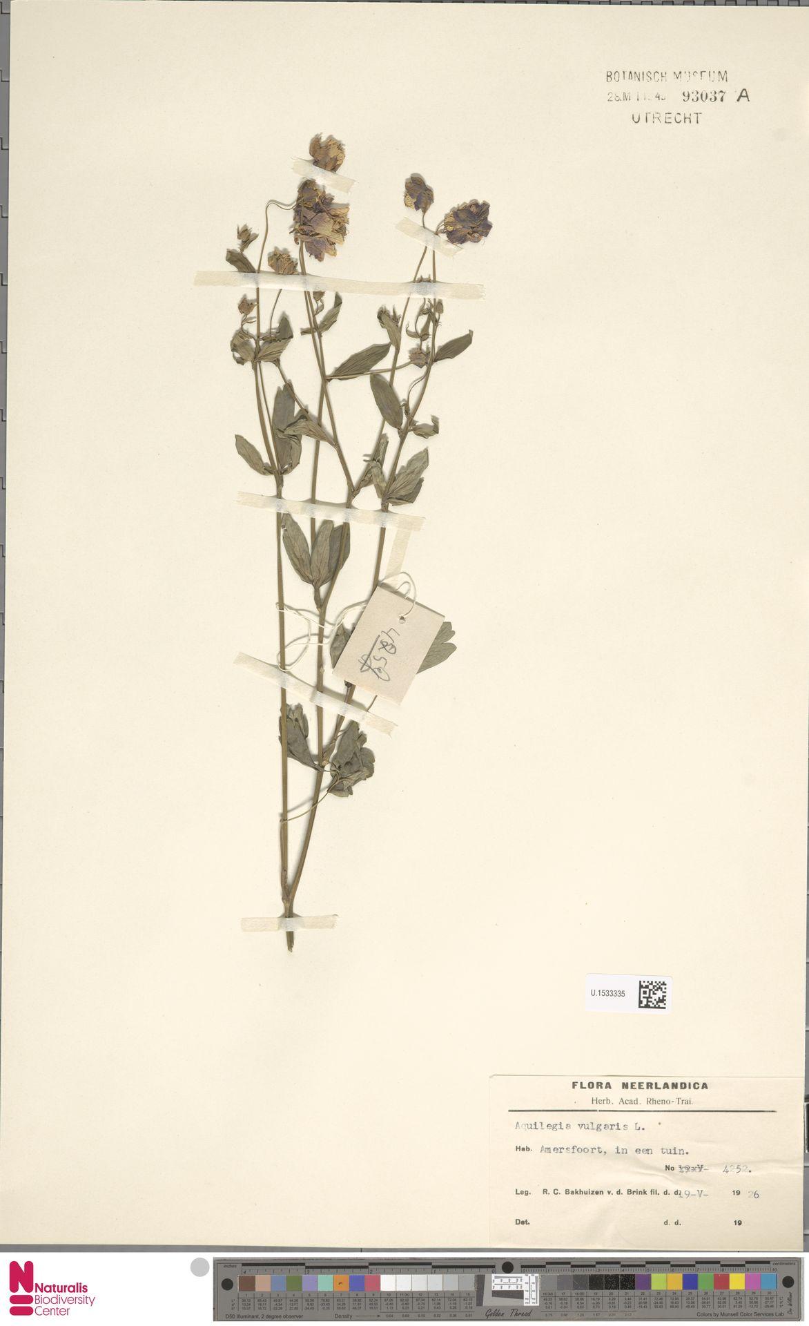 U.1533335 | Aquilegia vulgaris L.