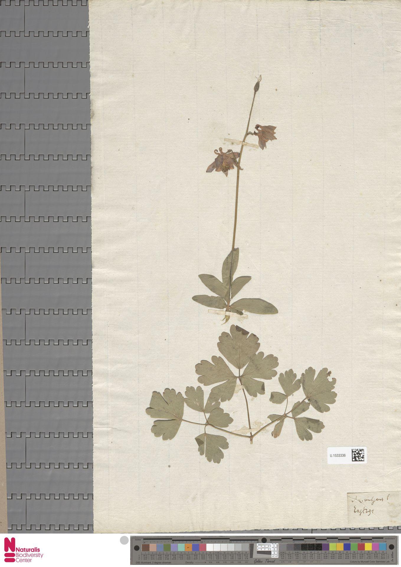 U.1533336 | Aquilegia vulgaris L.