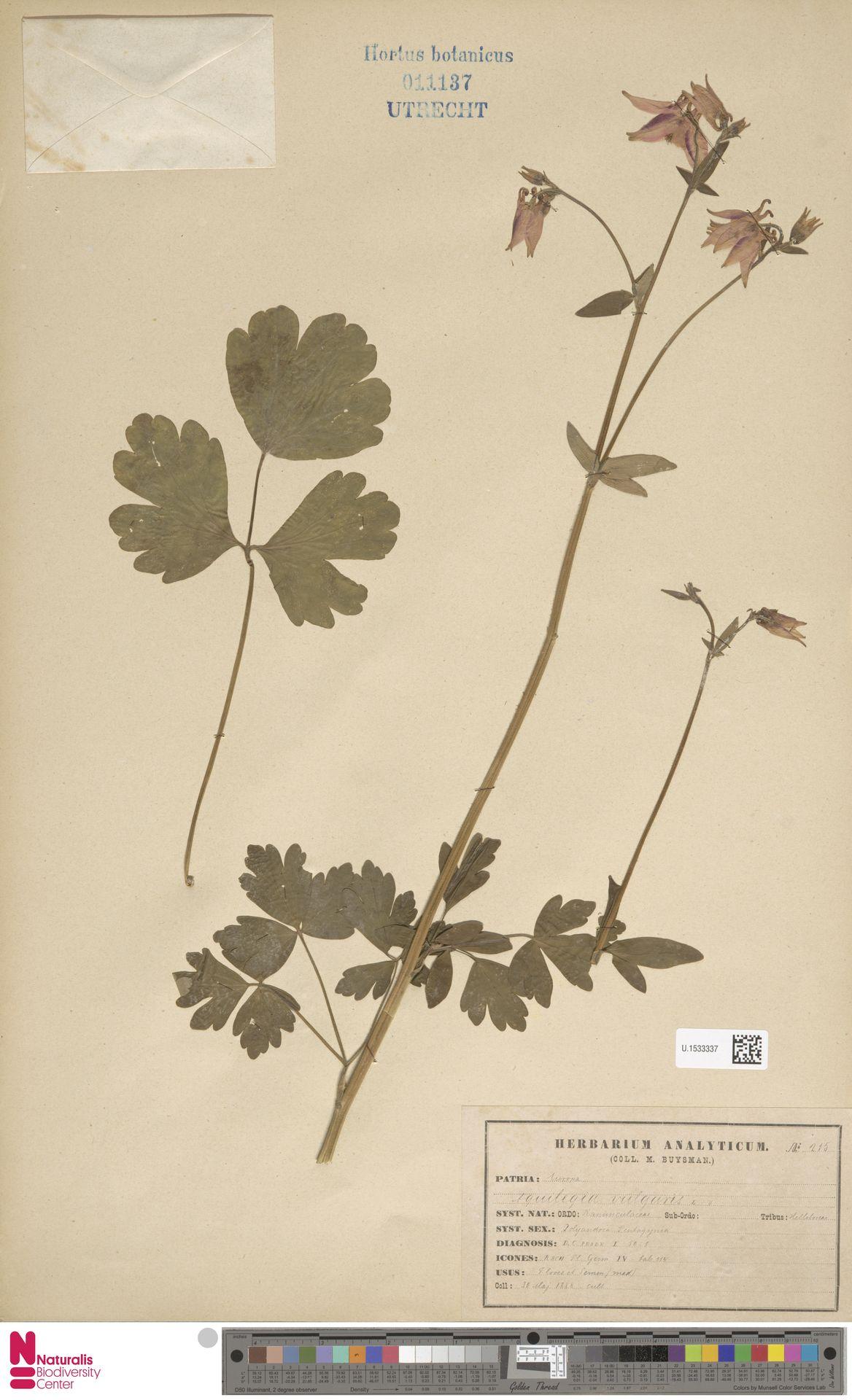 U.1533337 | Aquilegia vulgaris L.