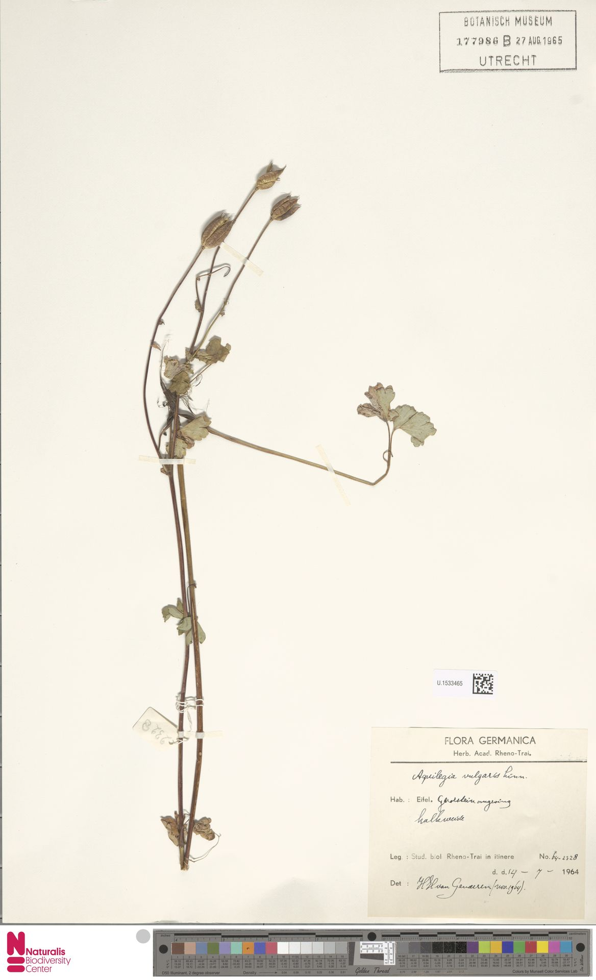 U.1533465 | Aquilegia vulgaris L.
