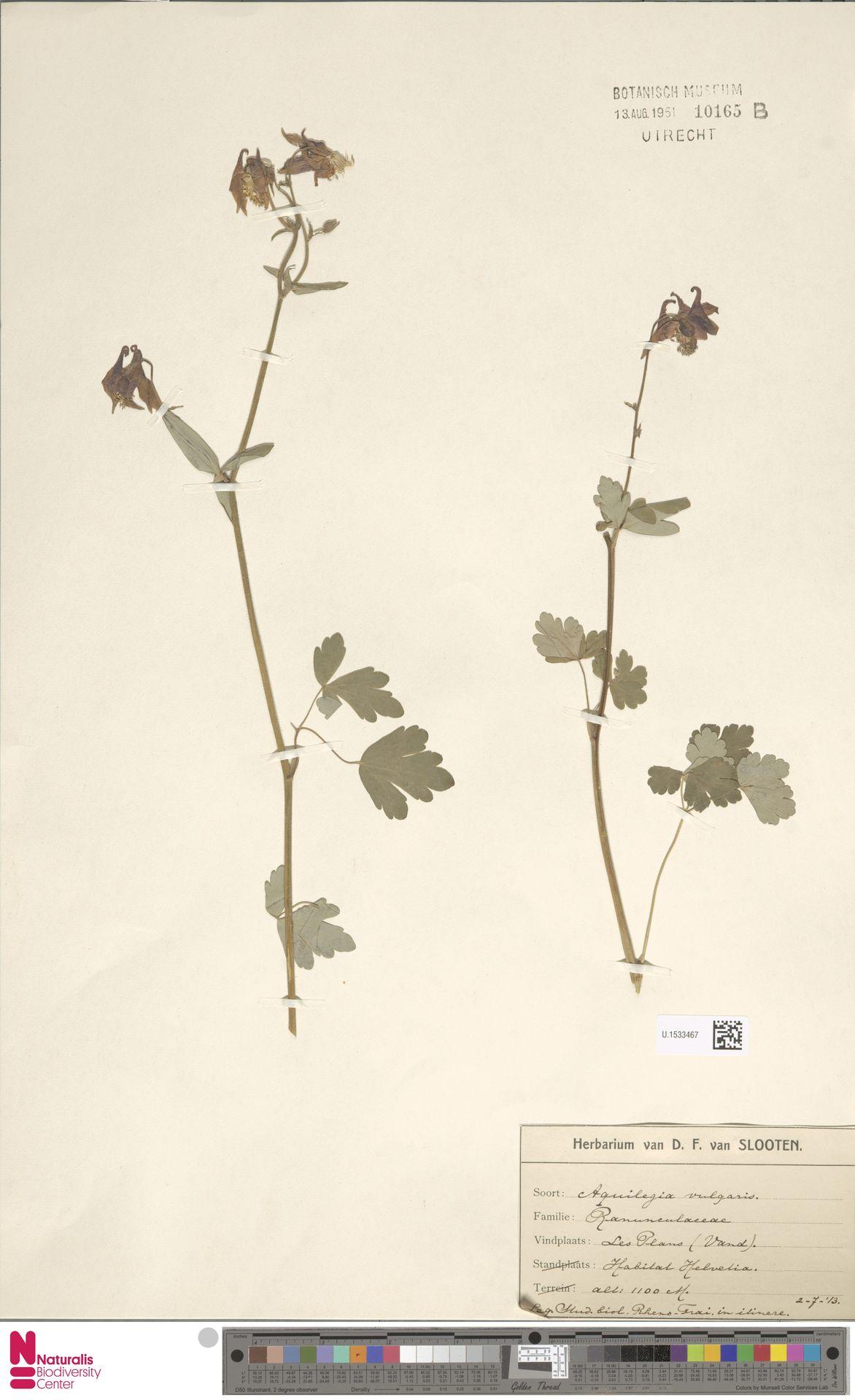 U.1533467 | Aquilegia vulgaris L.