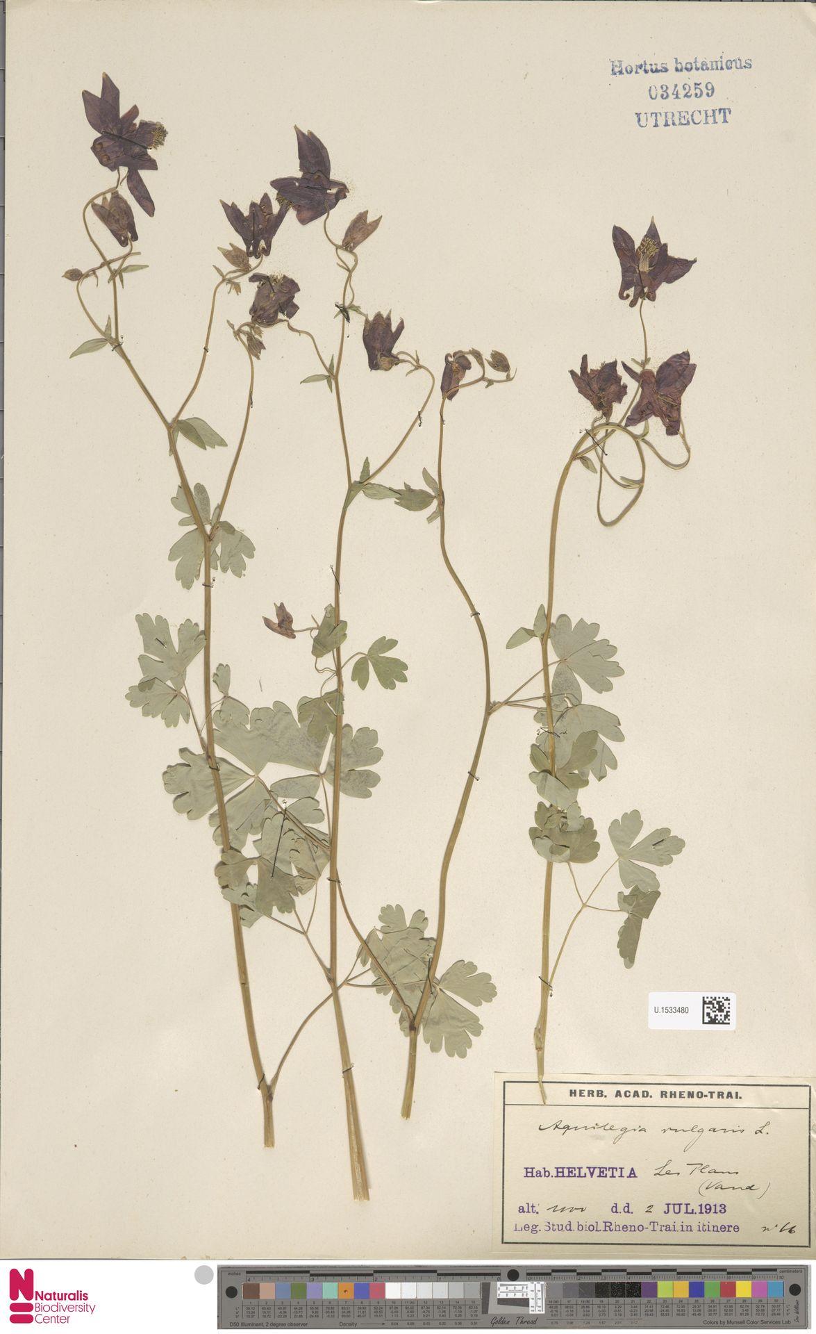 U.1533480 | Aquilegia vulgaris L.